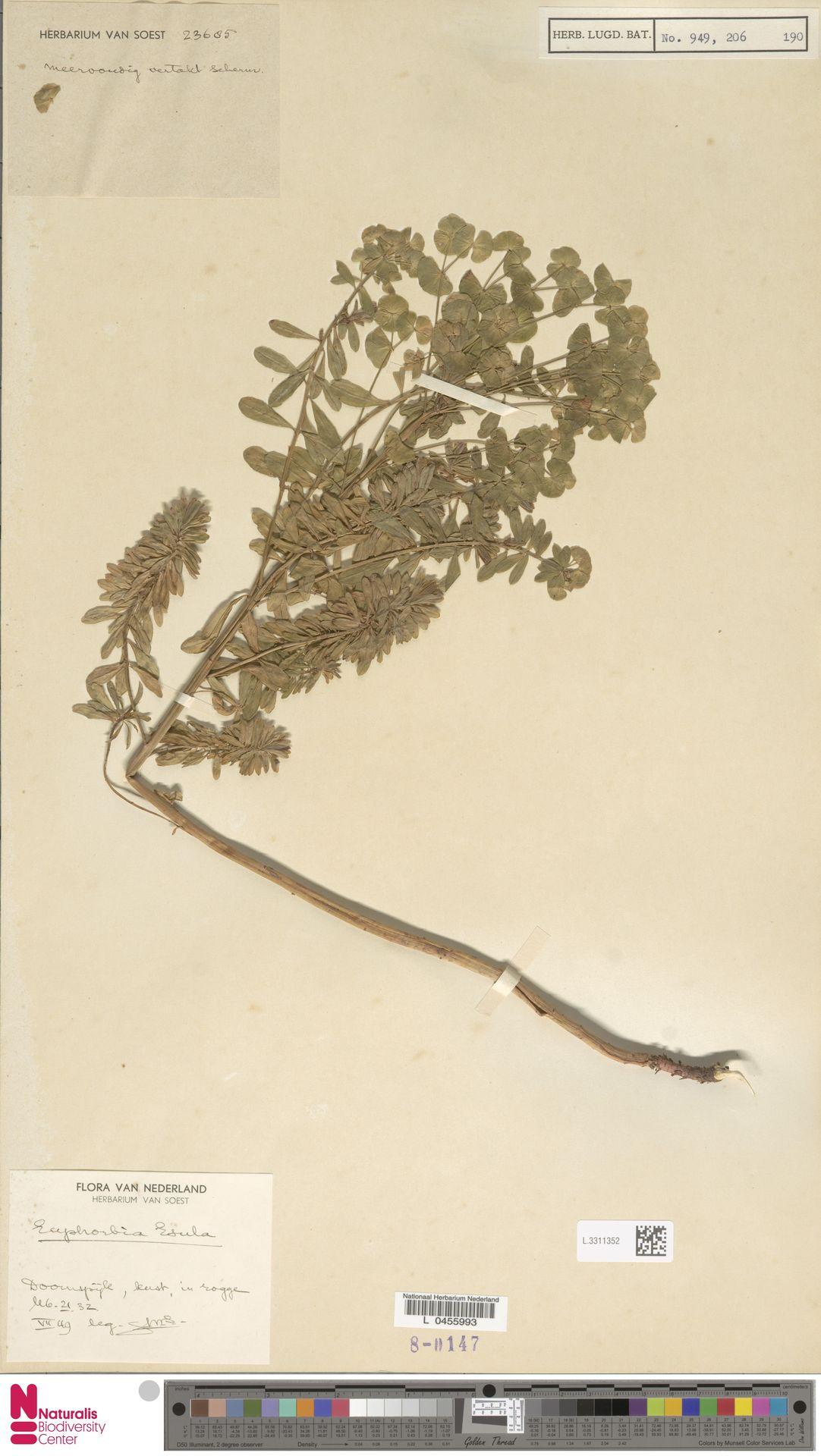 L.3311352 | Euphorbia esula L.