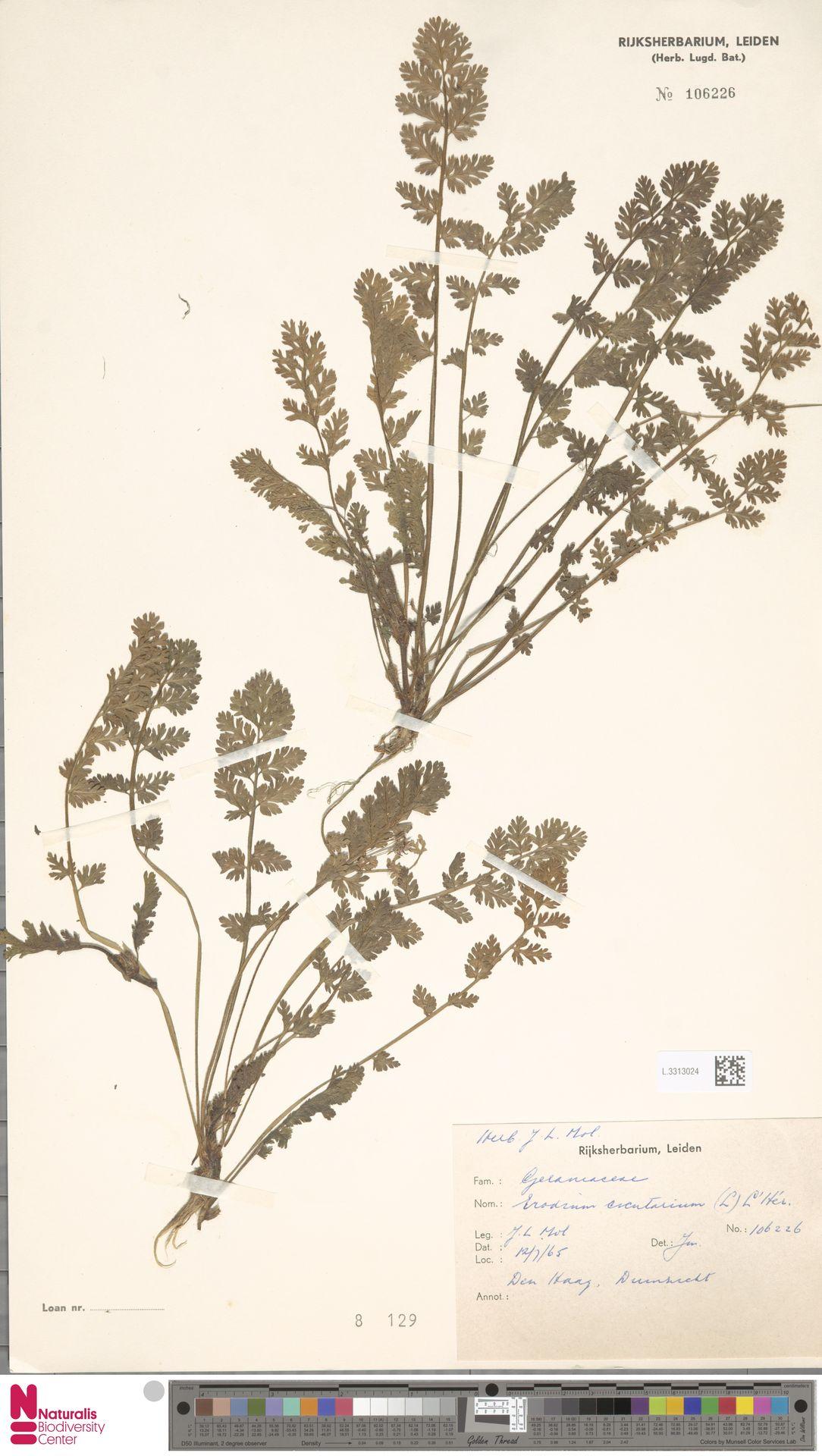 L.3313024 | Erodium cicutarium (L.) L'Hér.