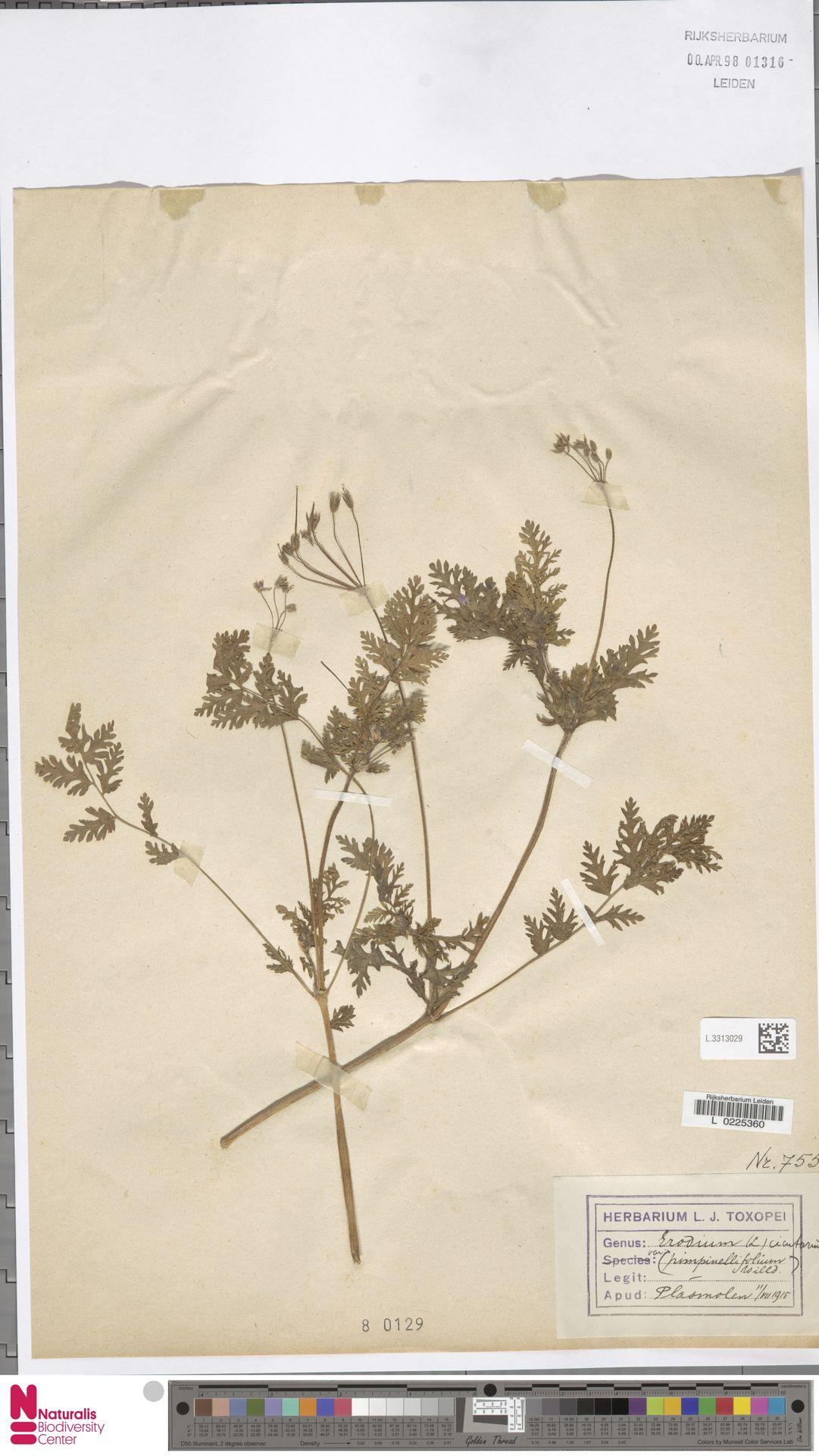 L.3313029 | Erodium cicutarium (L.) L'Hér.