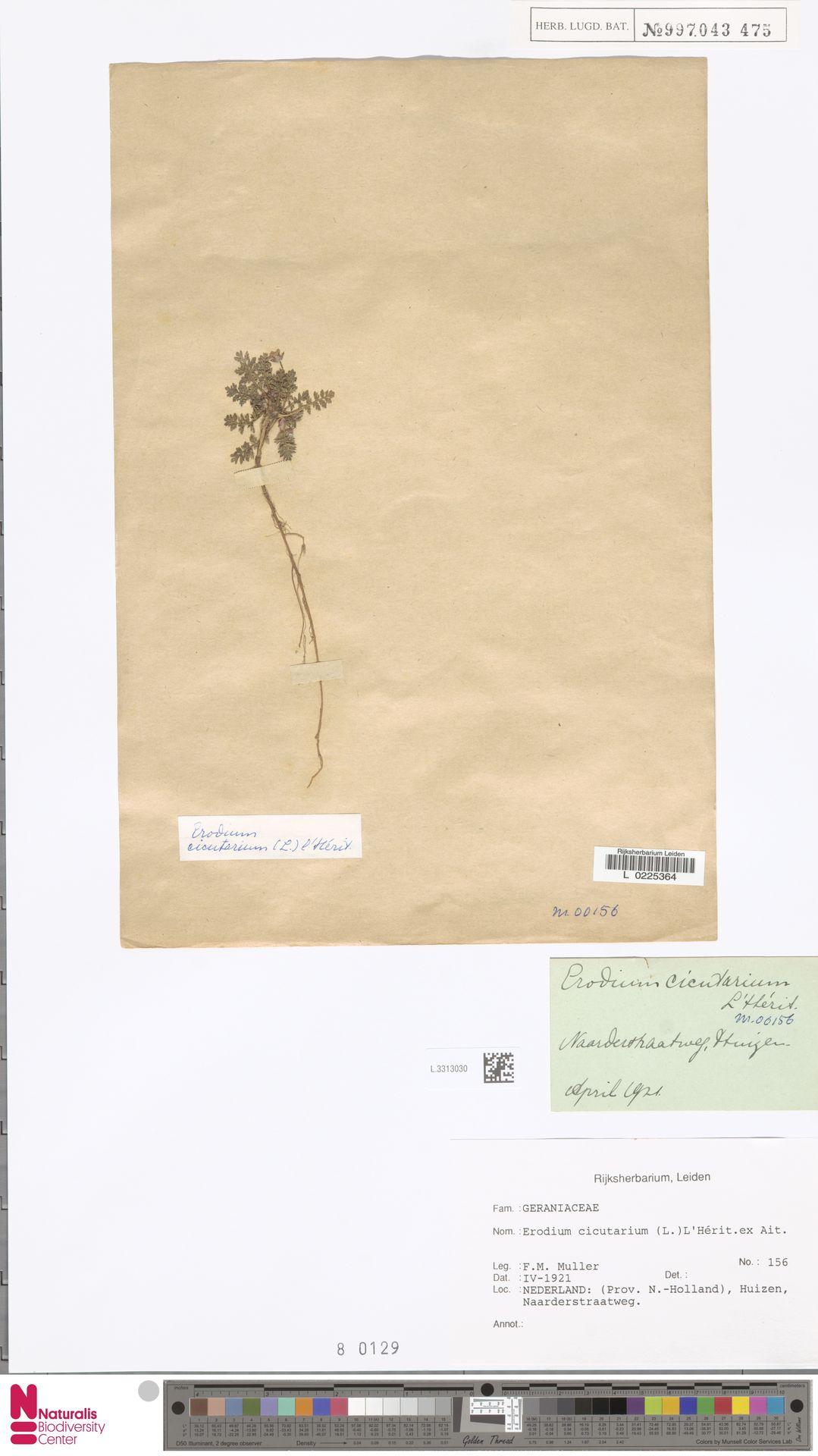 L.3313030   Erodium cicutarium (L.) L'Hér.