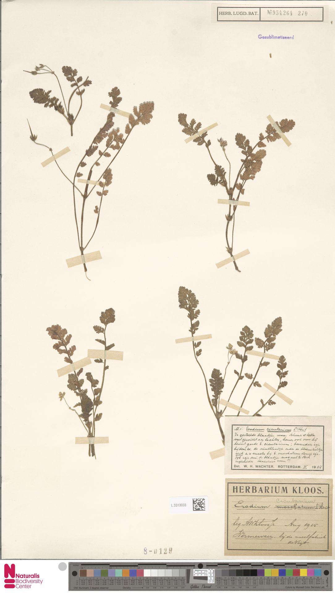 L.3313033 | Erodium cicutarium (L.) L'Hér.