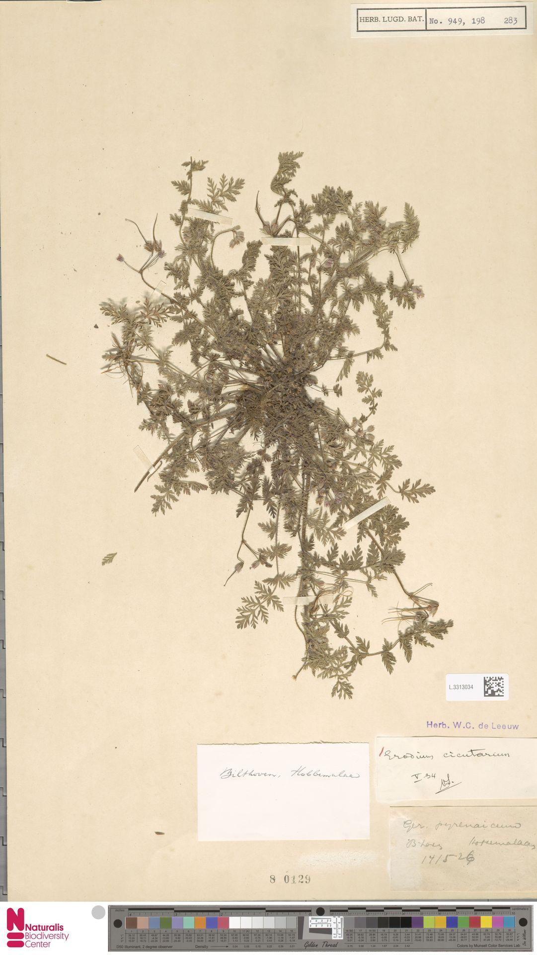 L.3313034   Erodium cicutarium (L.) L'Hér.