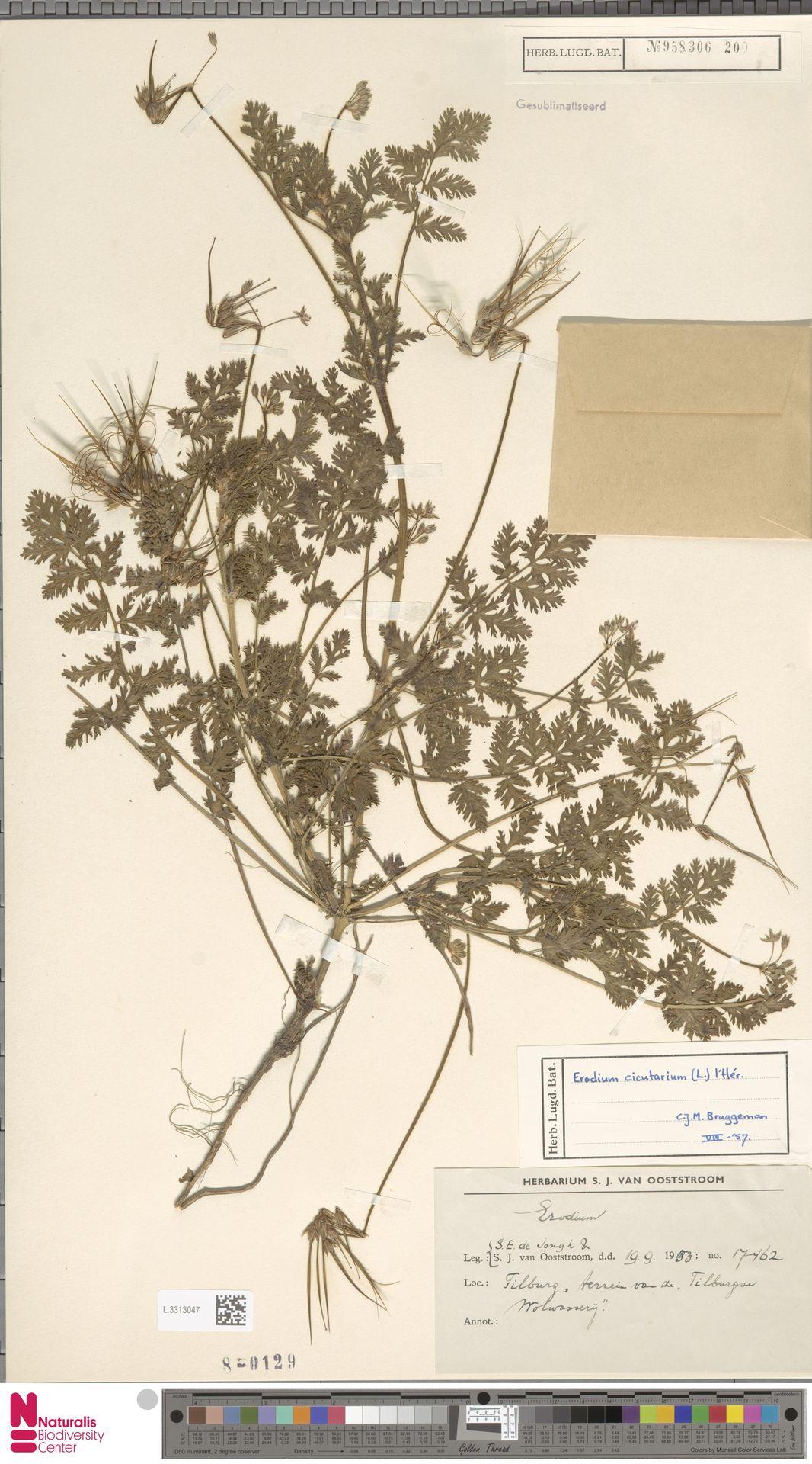 L.3313047 | Erodium cicutarium (L.) L'Hér.