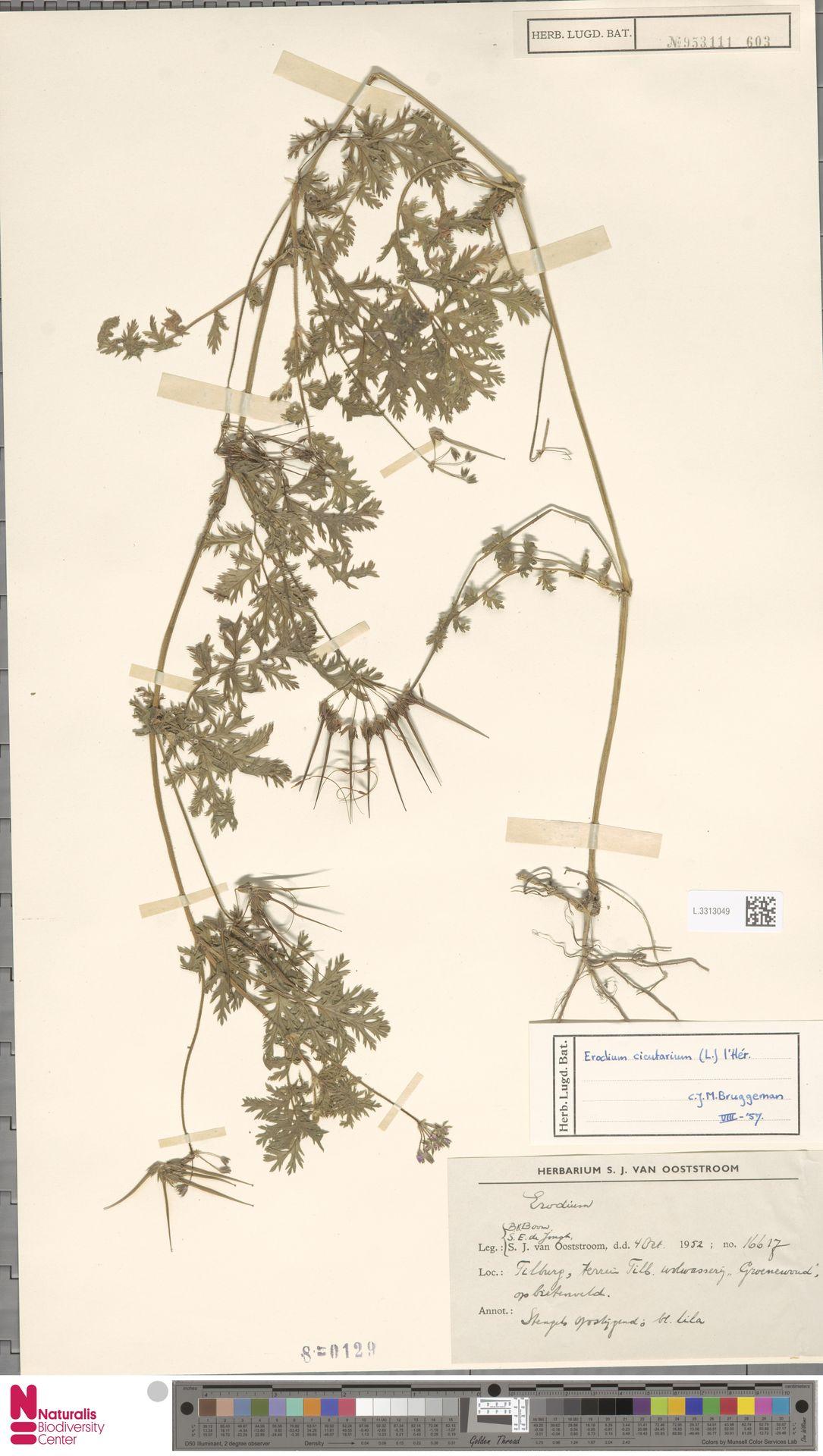 L.3313049 | Erodium cicutarium (L.) L'Hér.