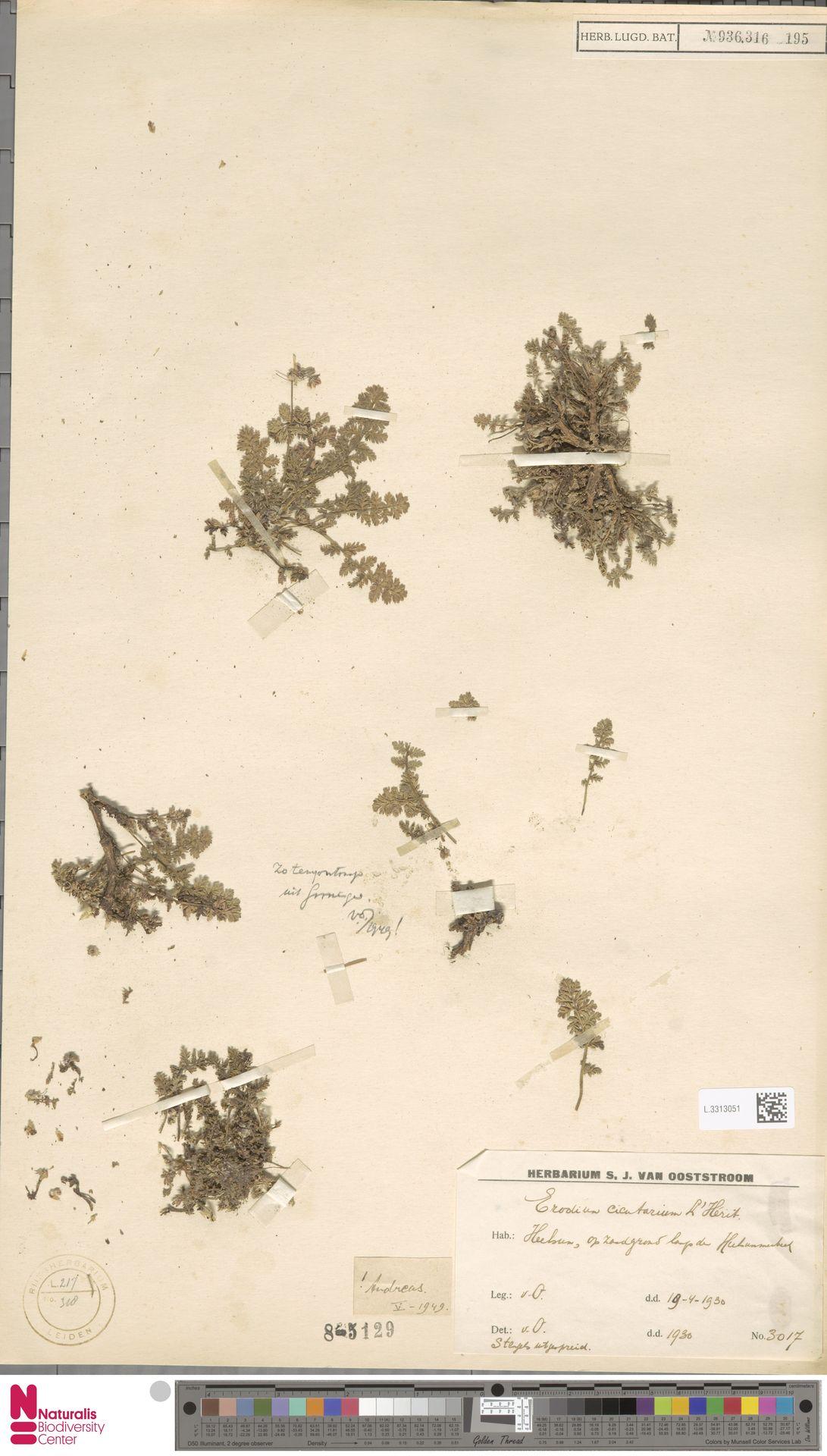 L.3313051 | Erodium cicutarium (L.) L'Hér.