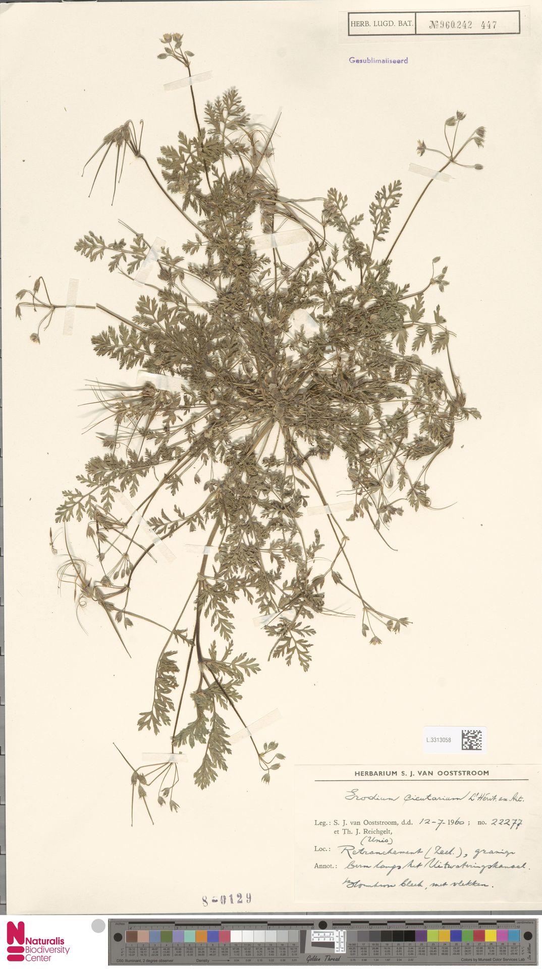 L.3313058   Erodium cicutarium (L.) L'Hér.