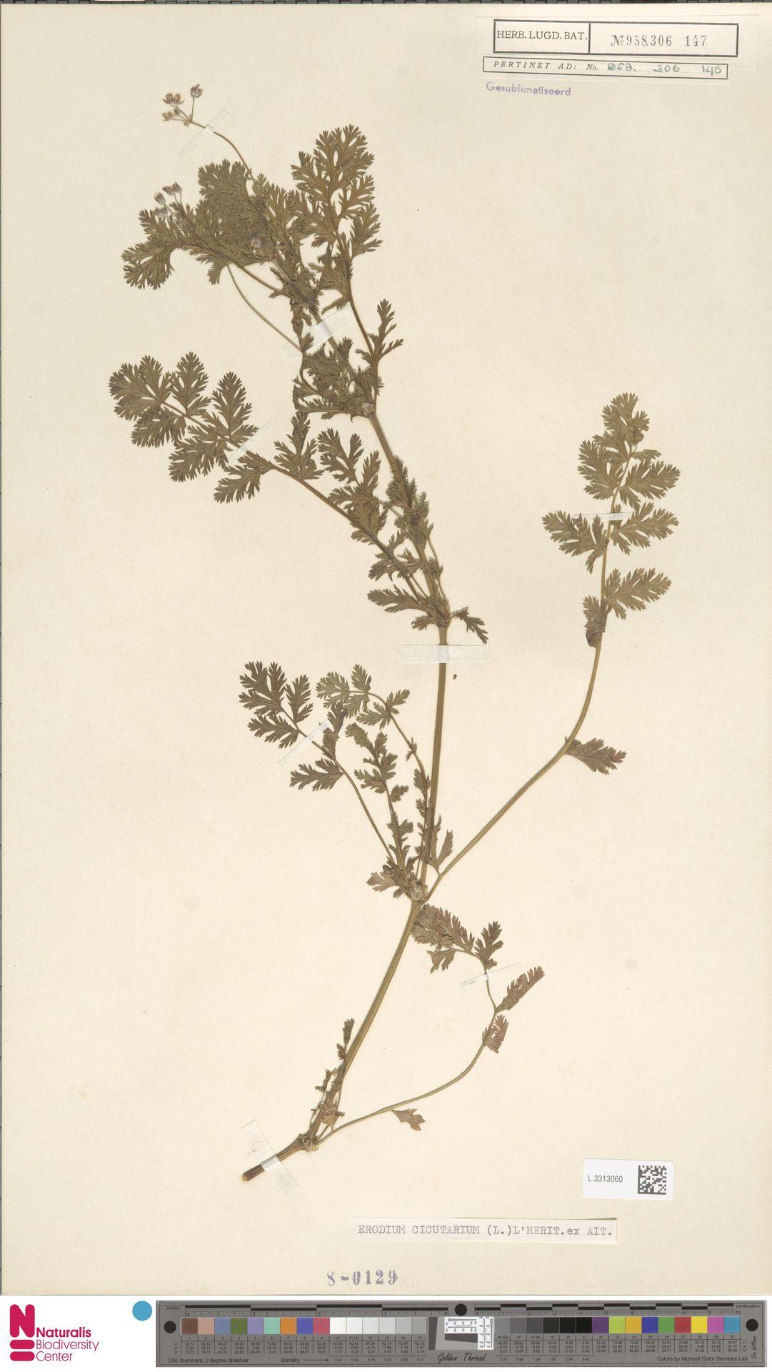 L.3313060 | Erodium cicutarium (L.) L'Hér.