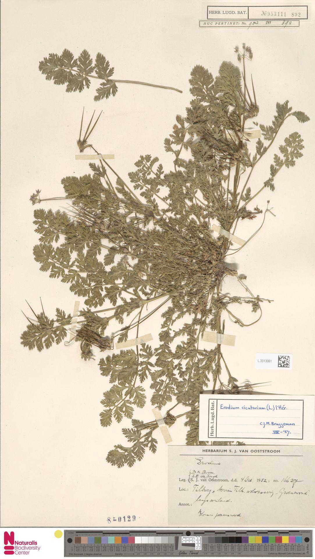 L.3313061 | Erodium cicutarium (L.) L'Hér.