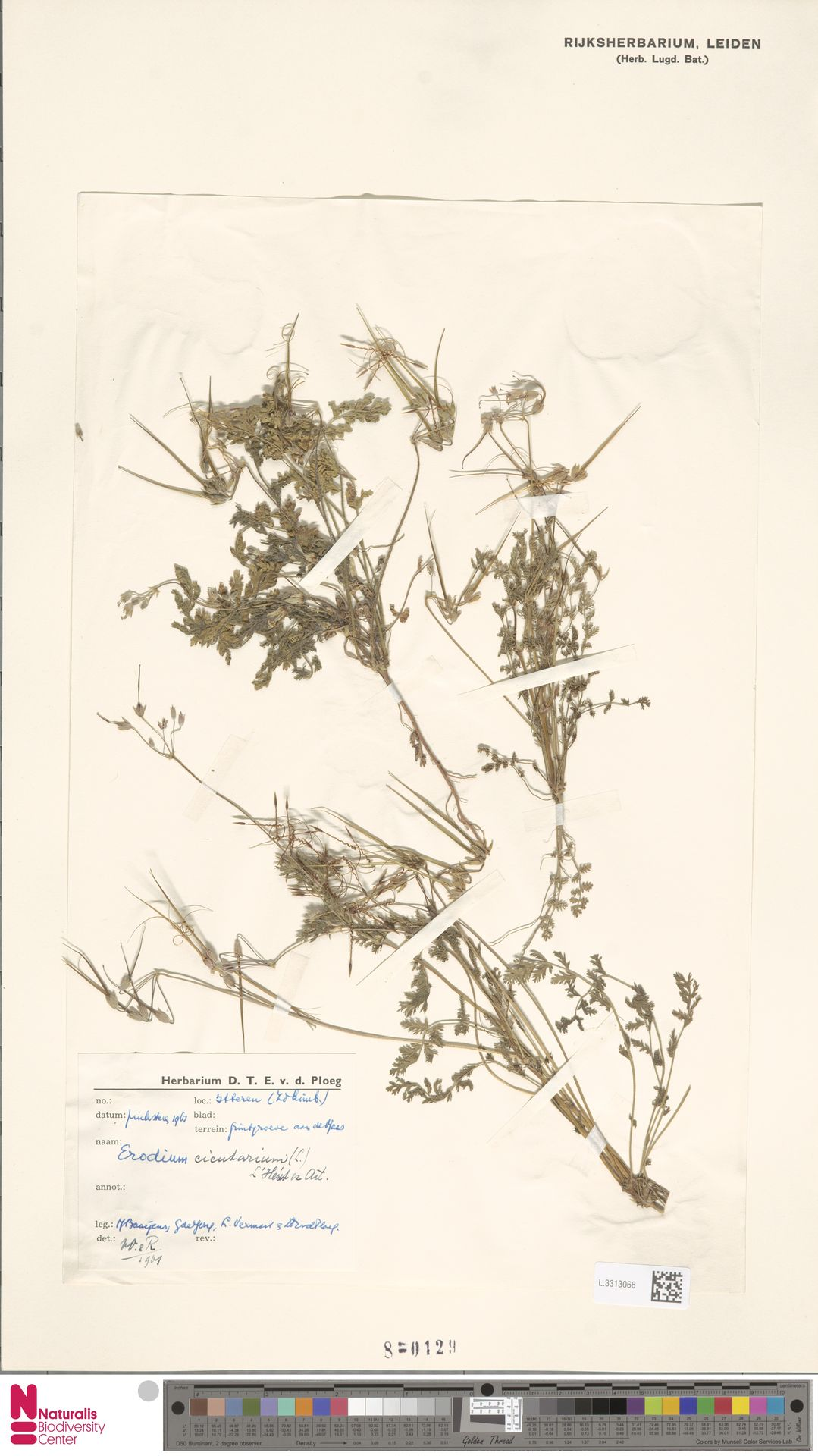 L.3313066 | Erodium cicutarium (L.) L'Hér.