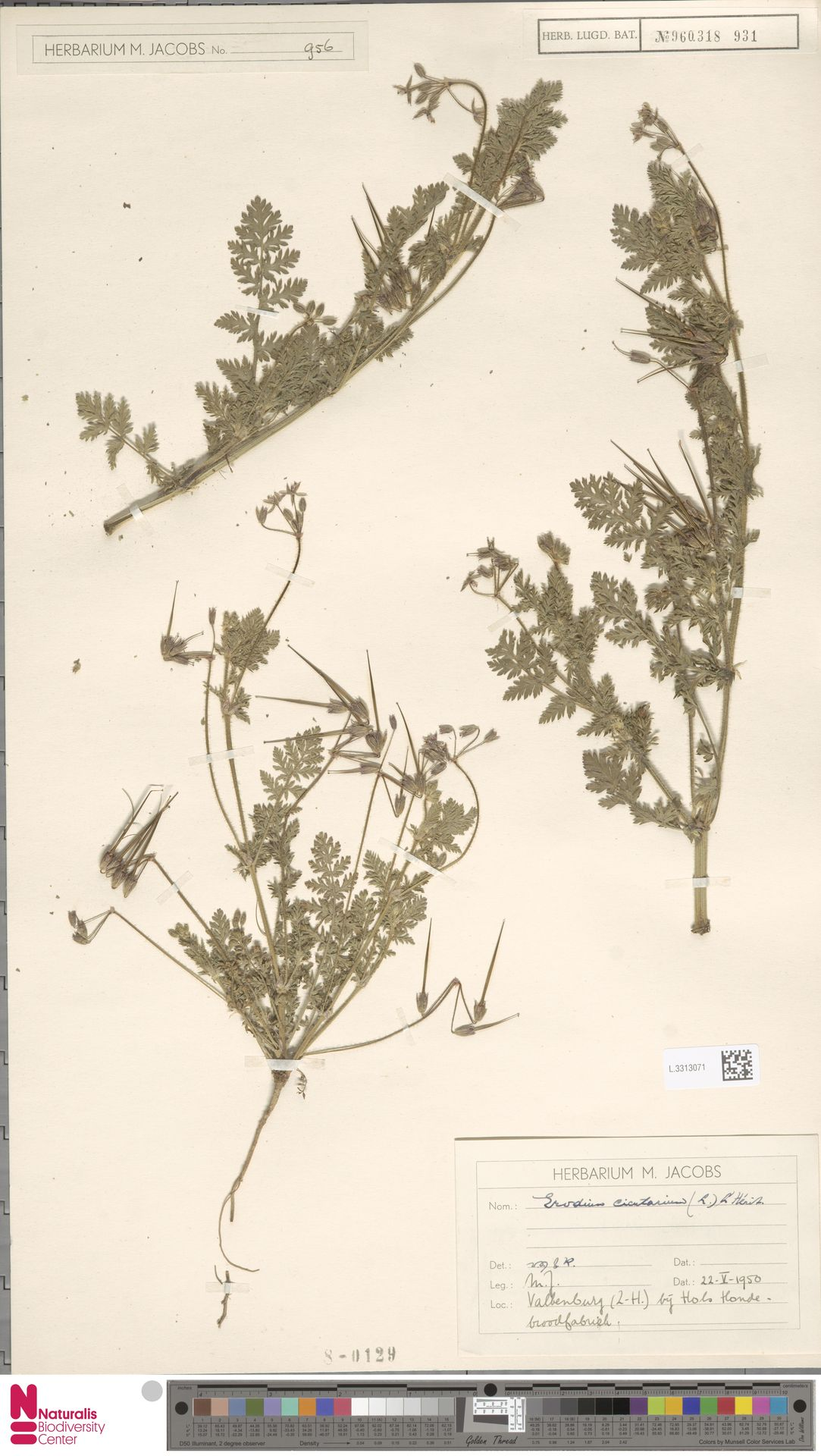 L.3313071 | Erodium cicutarium (L.) L'Hér.