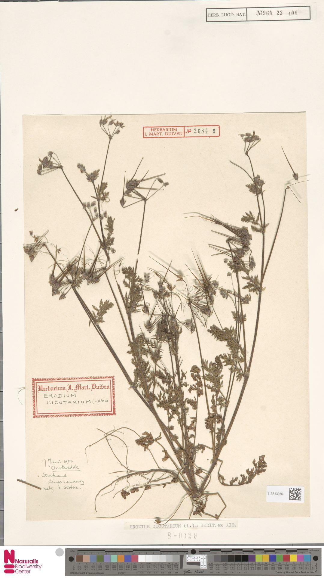 L.3313076 | Erodium cicutarium (L.) L'Hér.