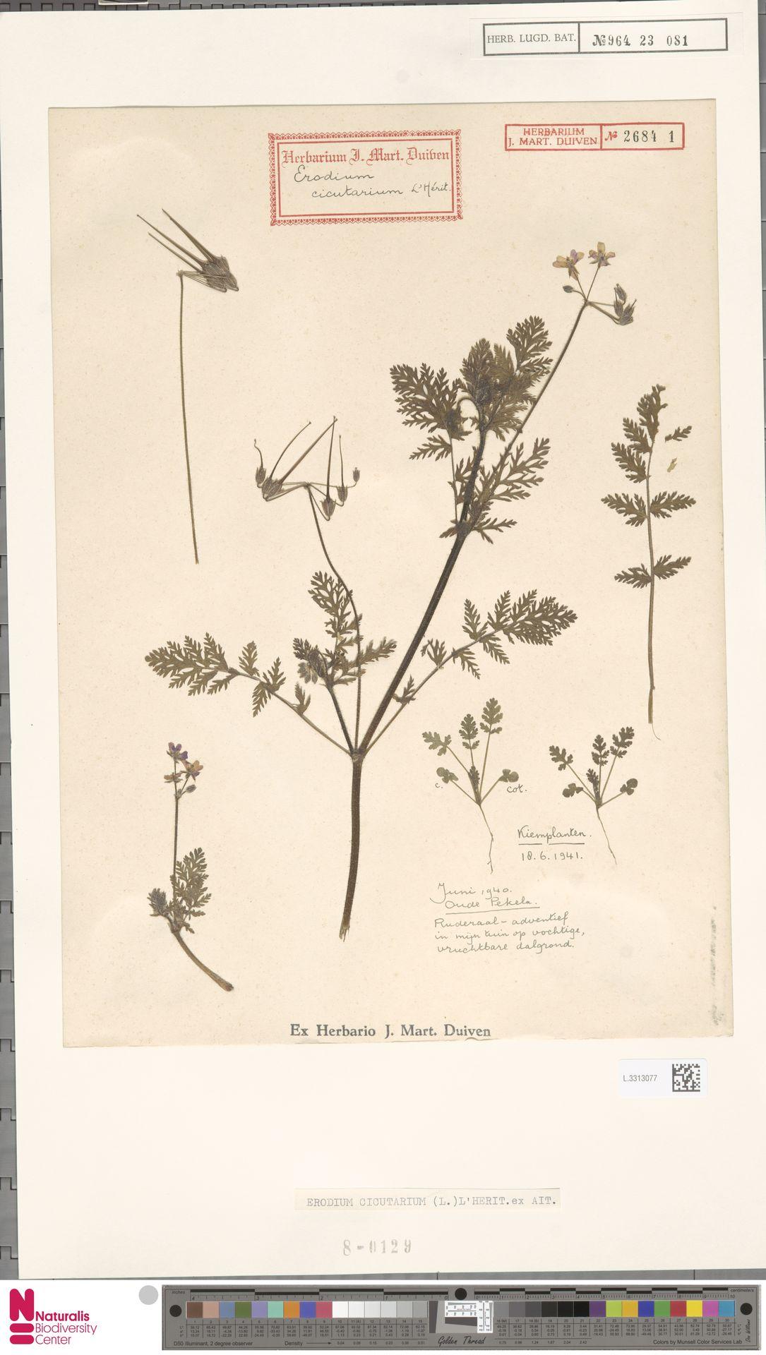 L.3313077   Erodium cicutarium (L.) L'Hér.