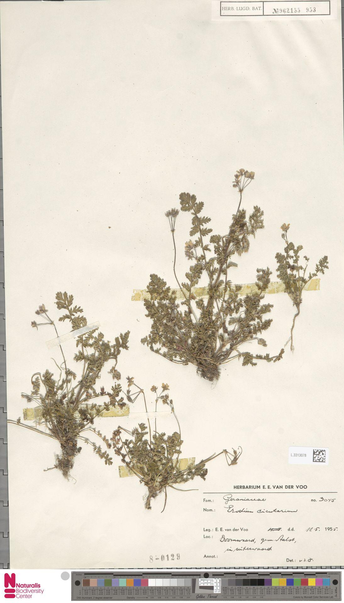 L.3313078   Erodium cicutarium (L.) L'Hér.