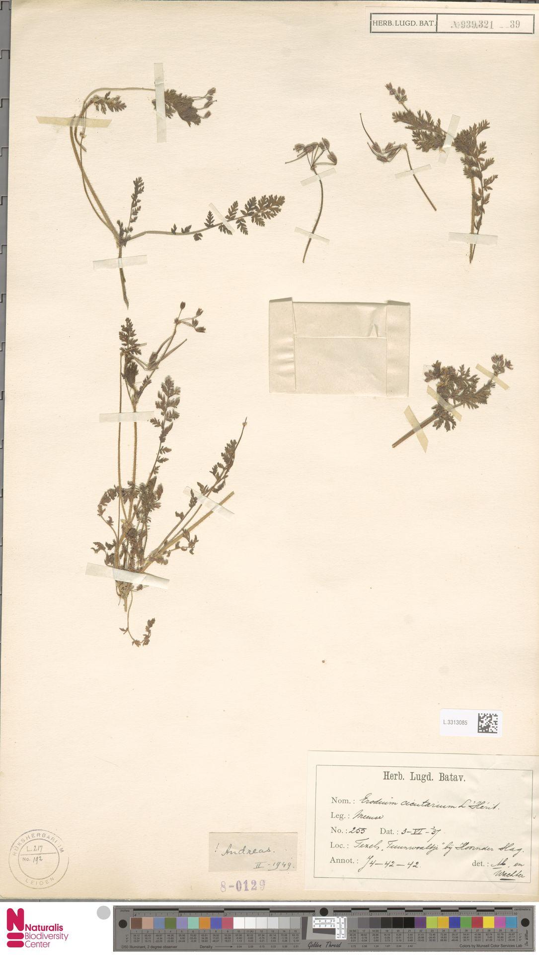 L.3313085 | Erodium cicutarium (L.) L'Hér.