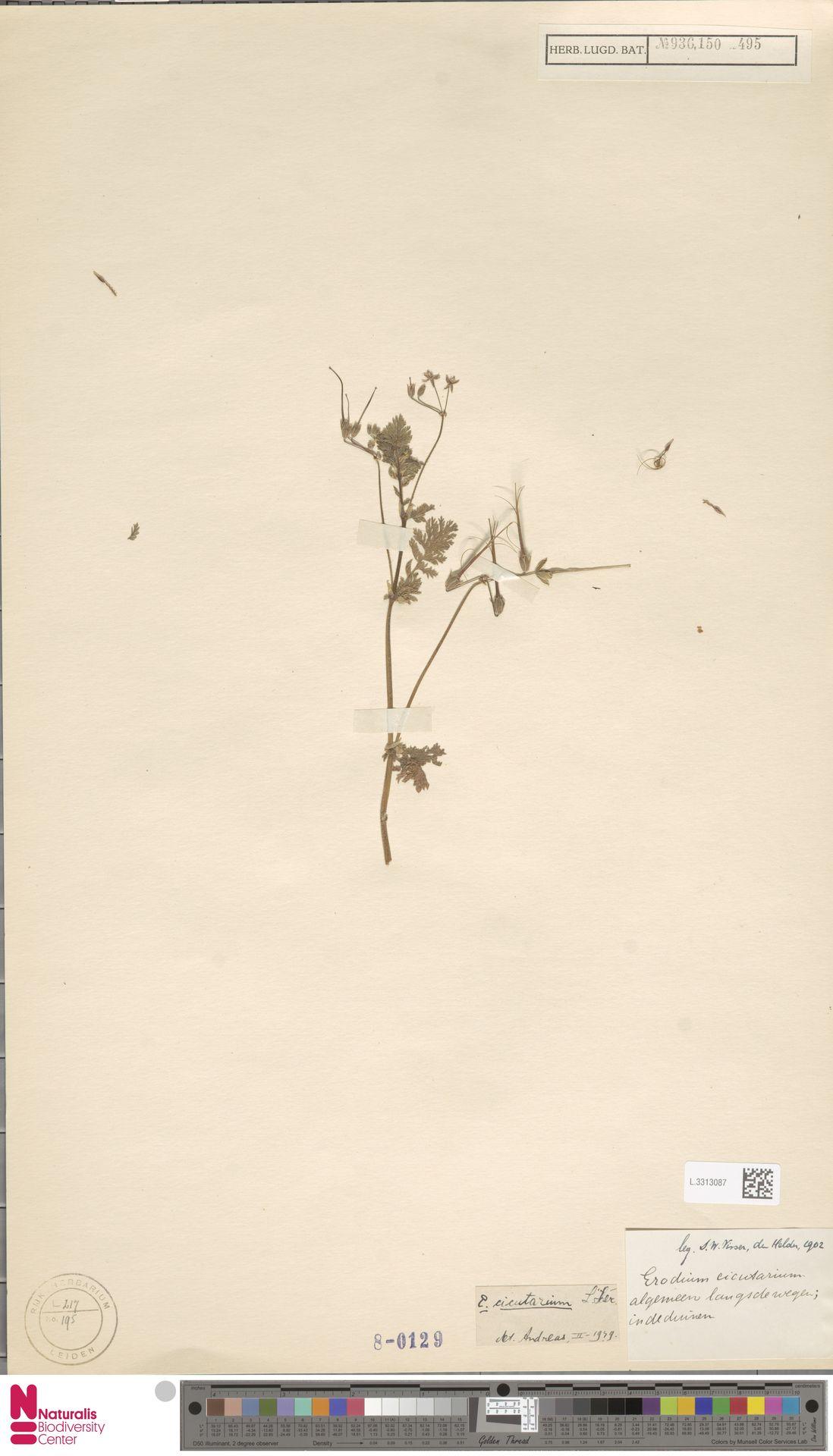 L.3313087 | Erodium cicutarium (L.) L'Hér.