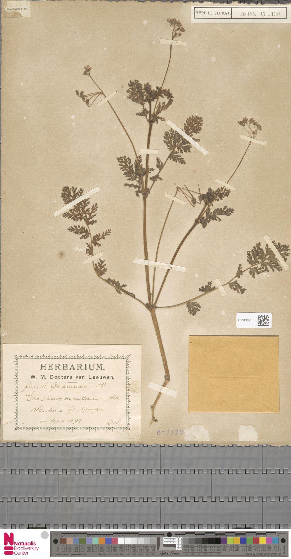 L.3313091   Erodium cicutarium (L.) L'Hér.