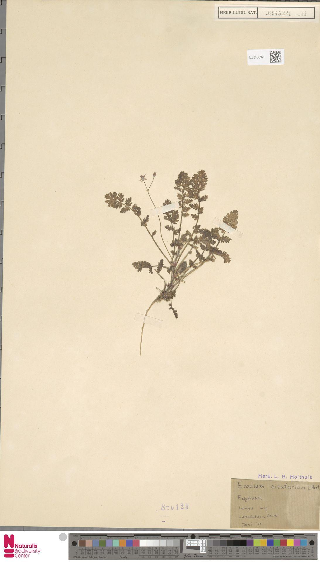 L.3313092 | Erodium cicutarium (L.) L'Hér.