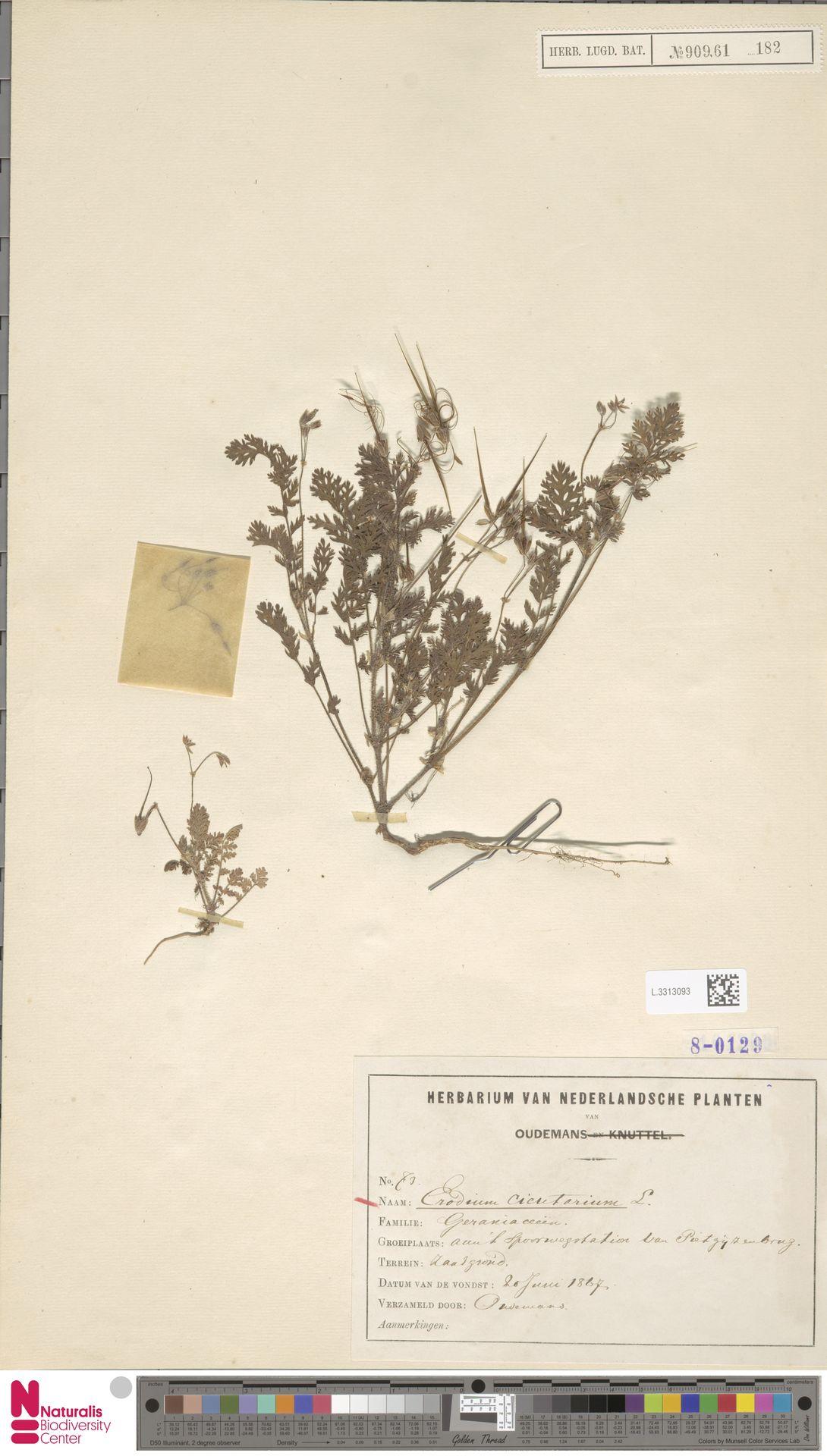 L.3313093 | Erodium cicutarium (L.) L'Hér.