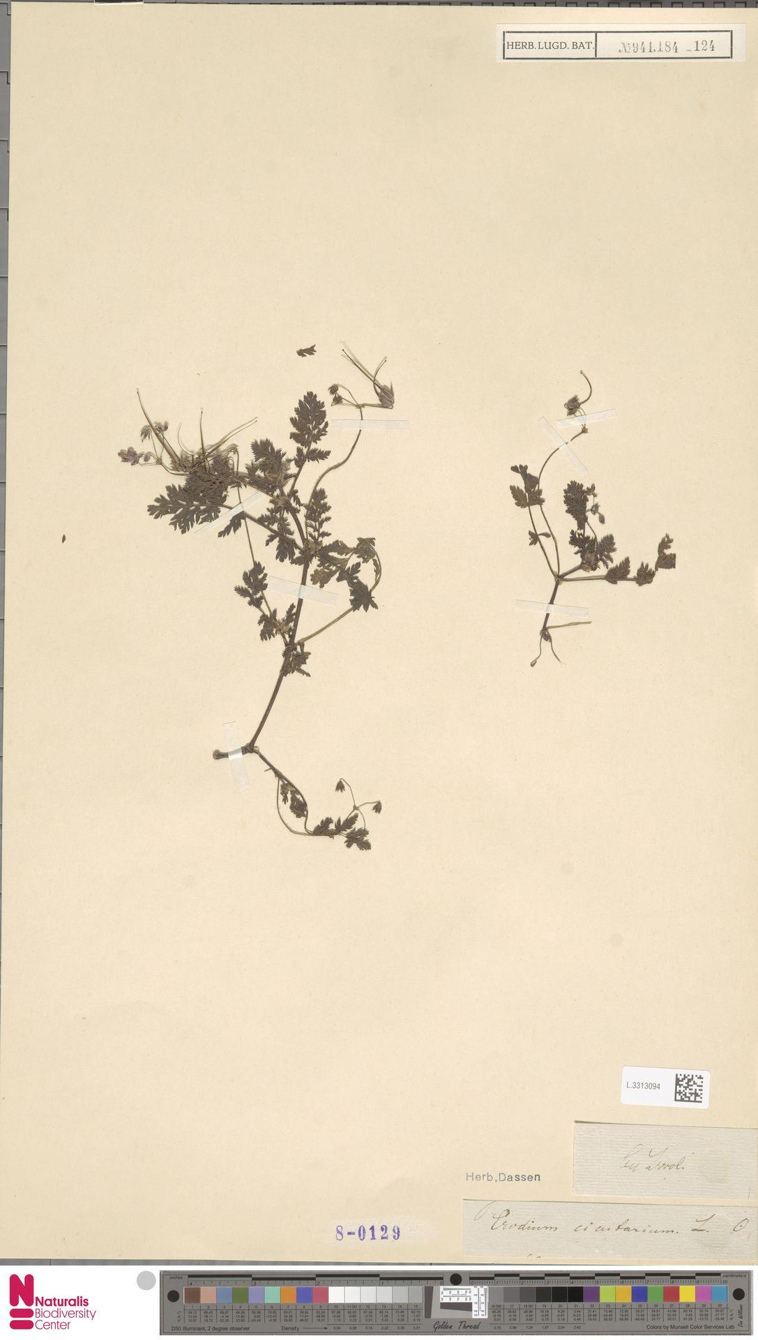 L.3313094 | Erodium cicutarium (L.) L'Hér.