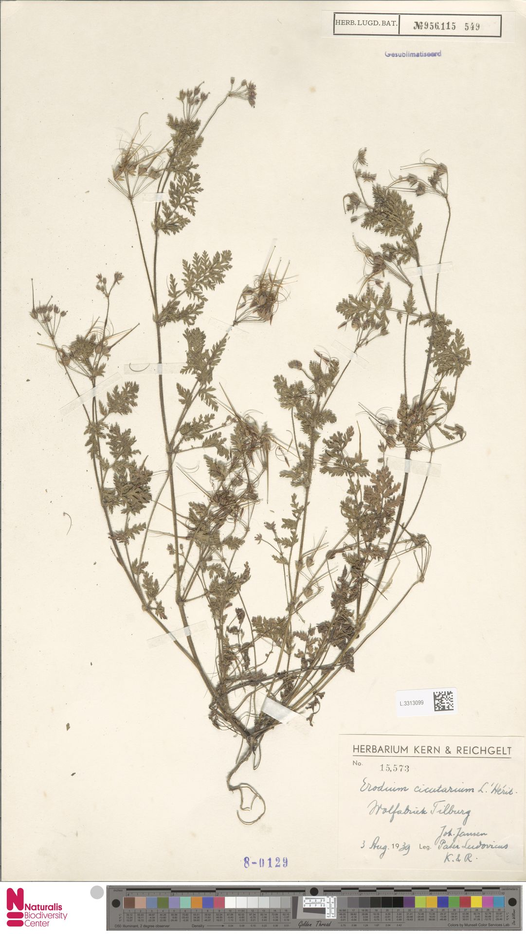 L.3313099 | Erodium cicutarium (L.) L'Hér.