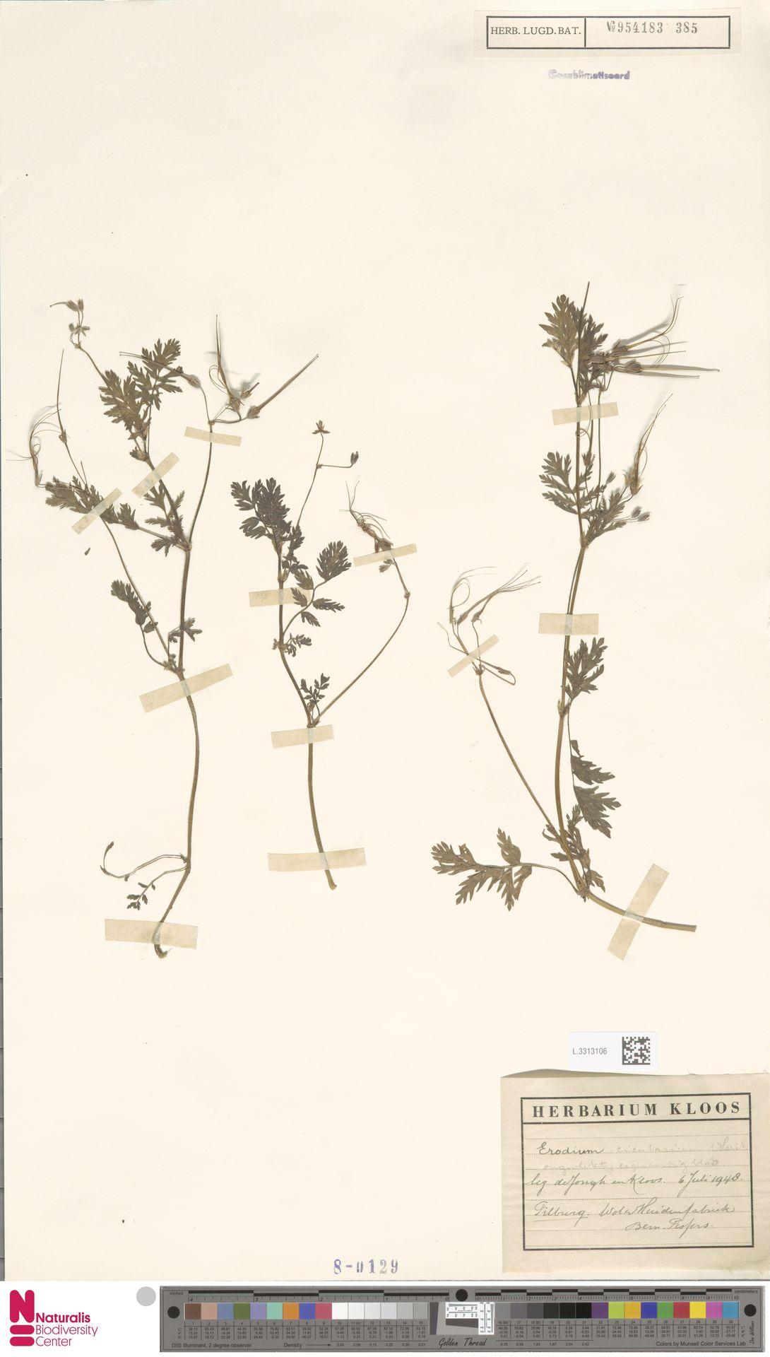 L.3313106 | Erodium cicutarium (L.) L'Hér.