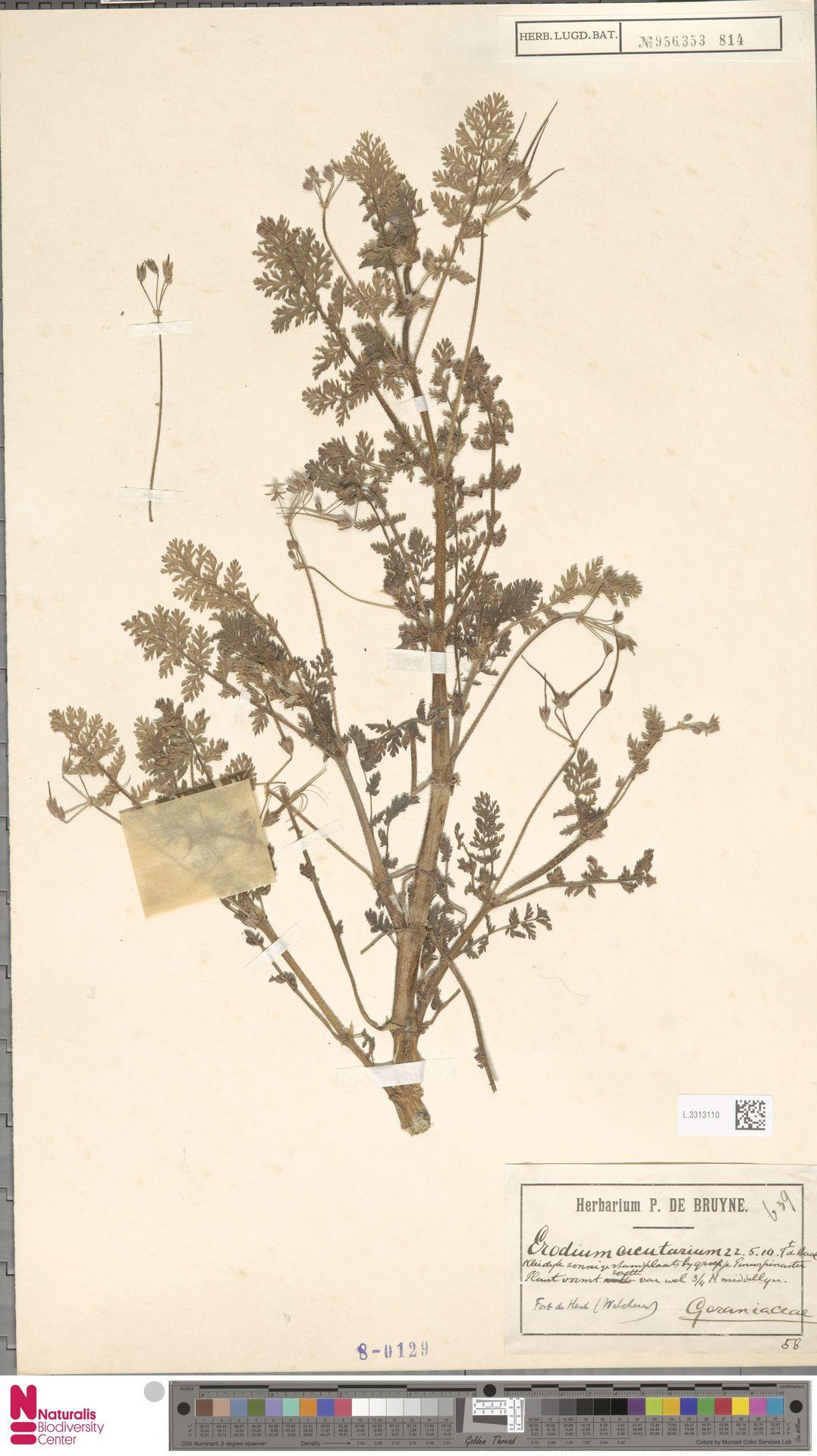L.3313110   Erodium cicutarium (L.) L'Hér.