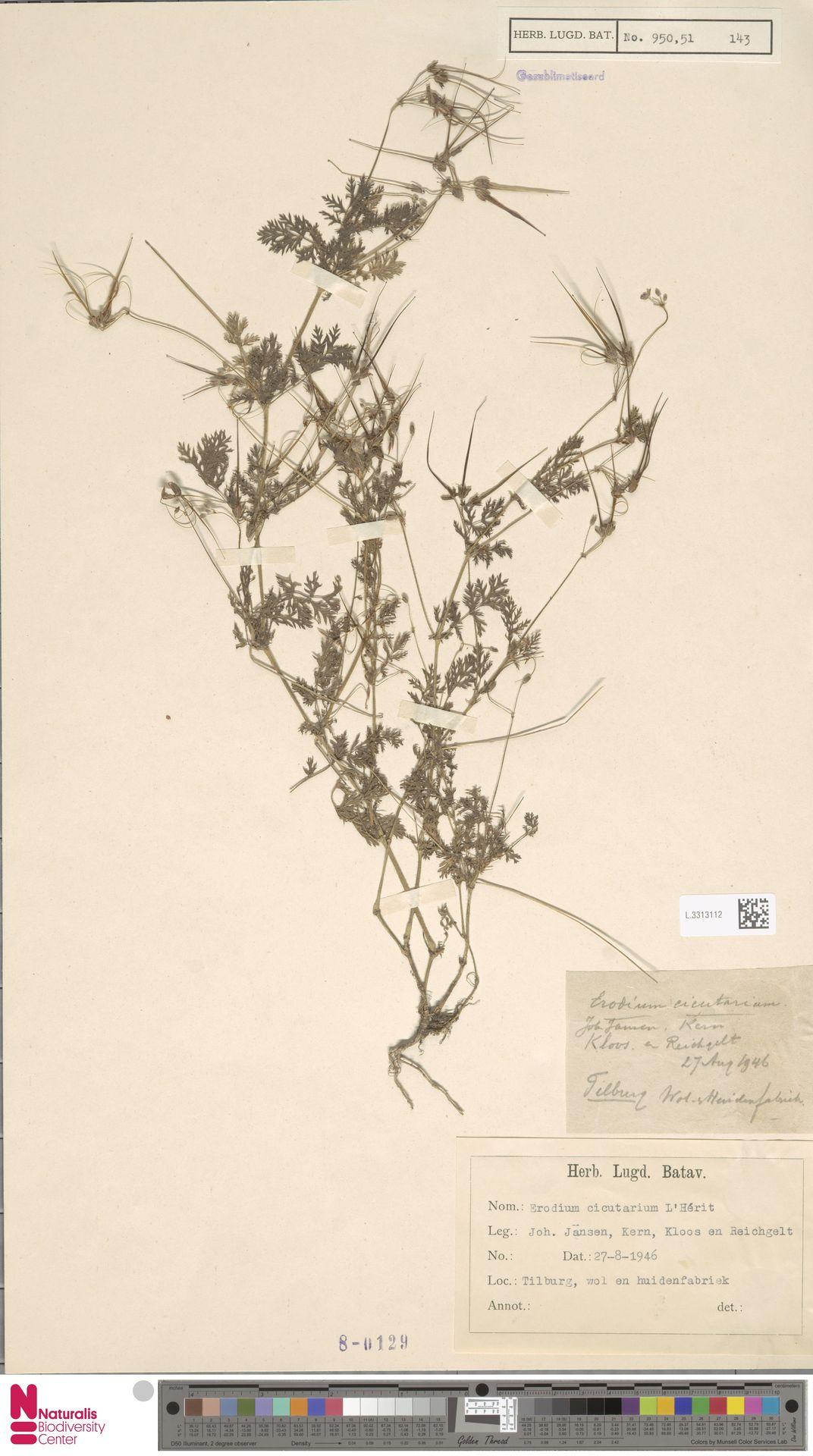 L.3313112 | Erodium cicutarium (L.) L'Hér.