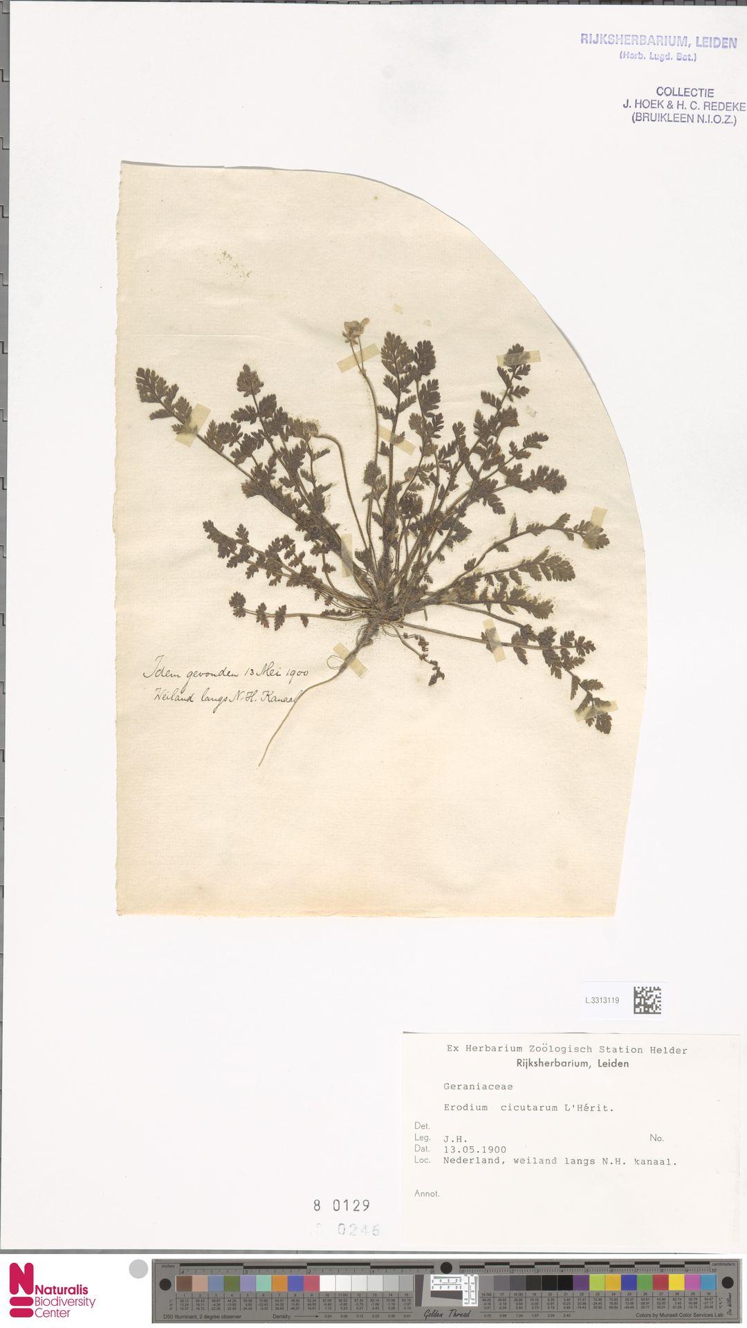 L.3313119 | Erodium cicutarium (L.) L'Hér.
