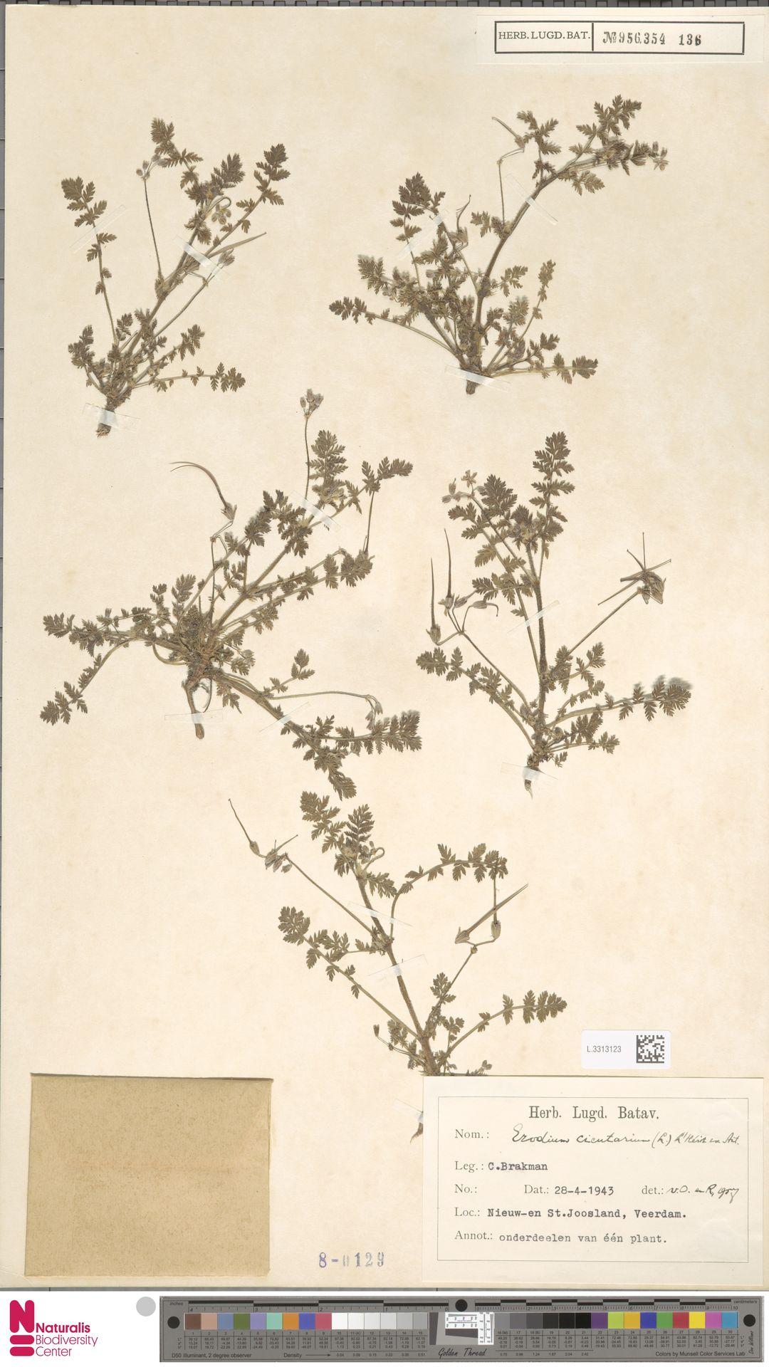 L.3313123 | Erodium cicutarium (L.) L'Hér.