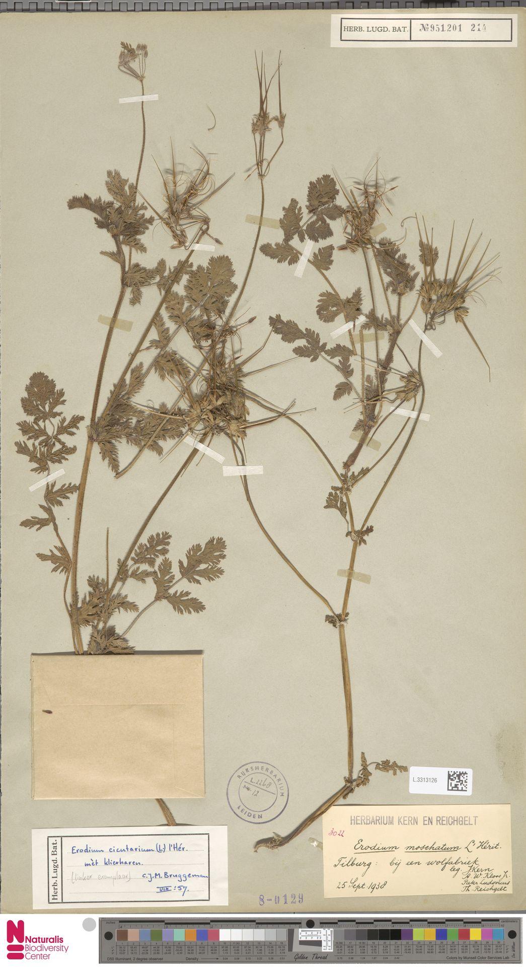 L.3313126   Erodium cicutarium (L.) L'Hér.