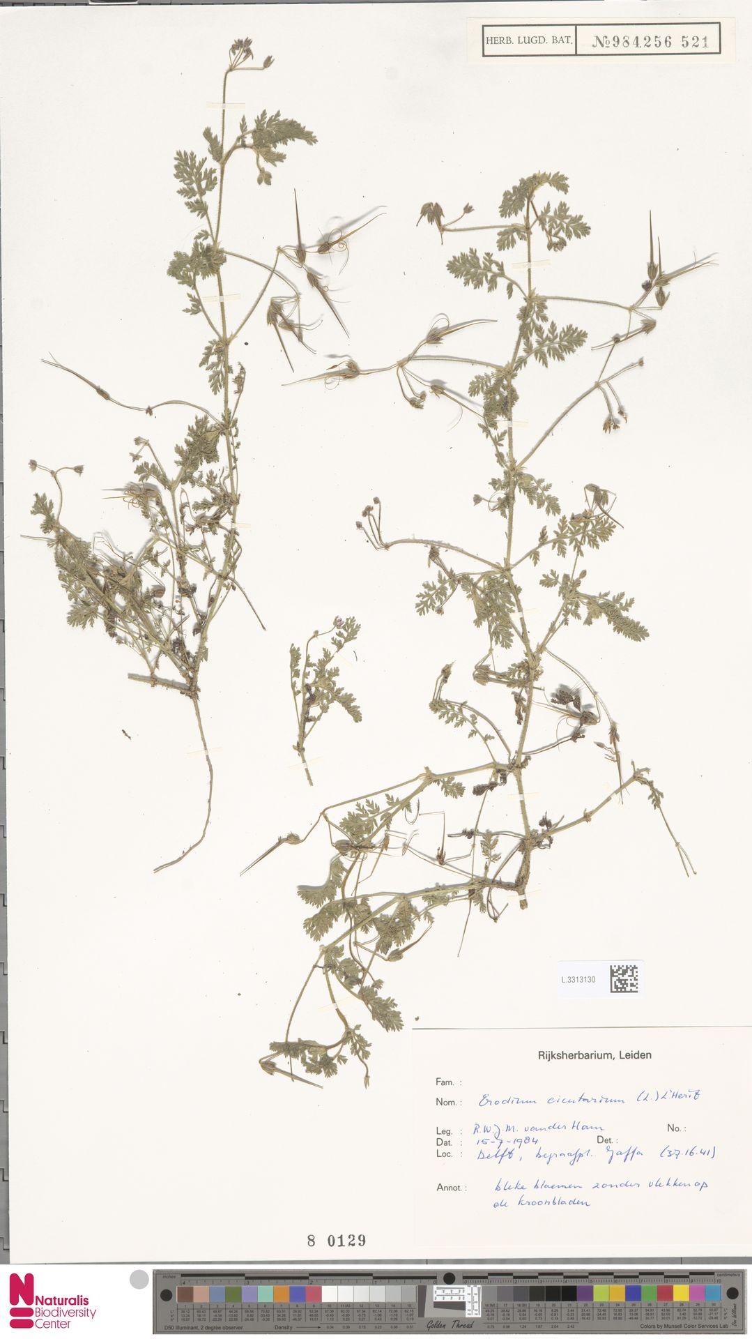 L.3313130 | Erodium cicutarium (L.) L'Hér.