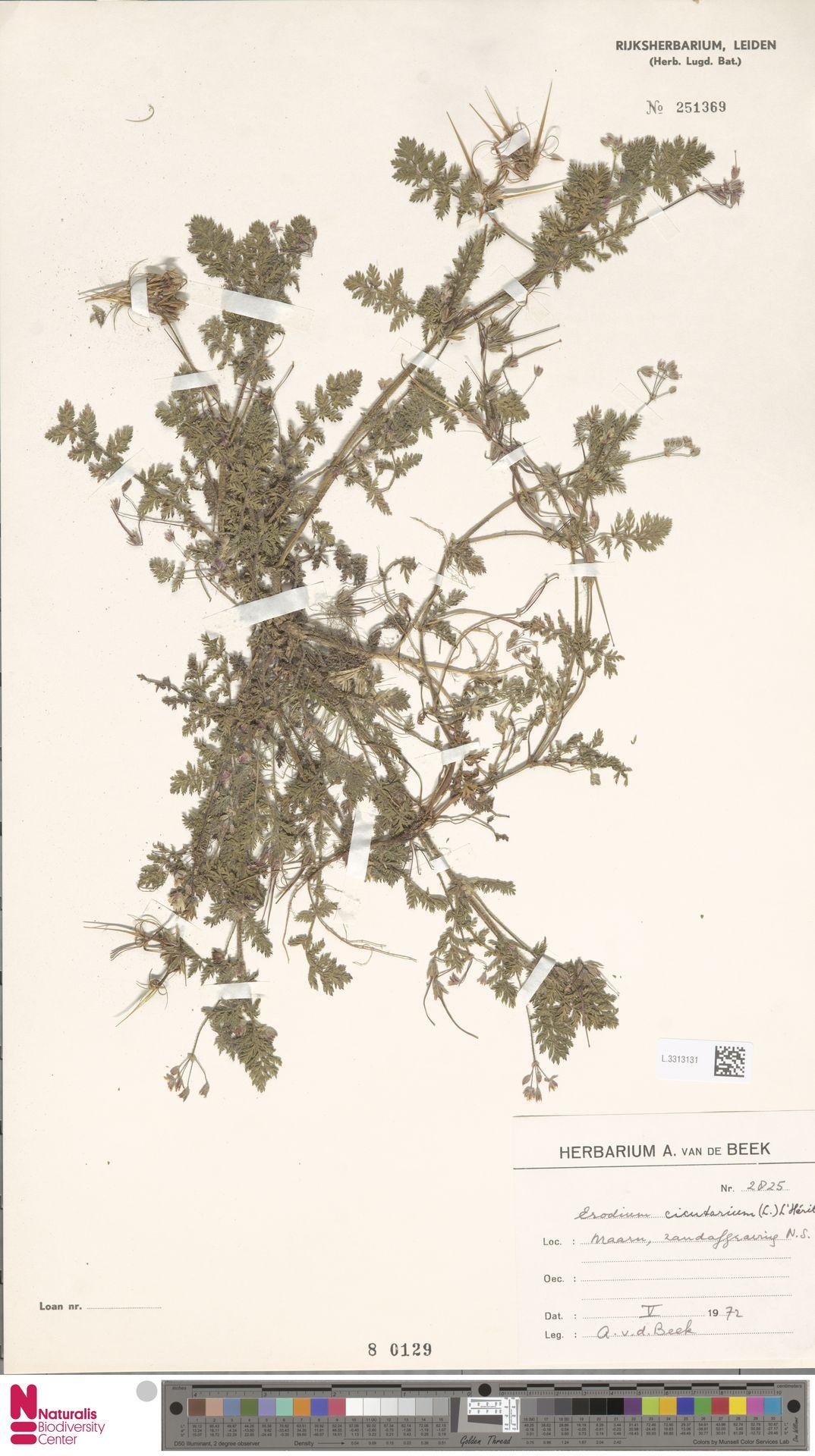 L.3313131 | Erodium cicutarium (L.) L'Hér.