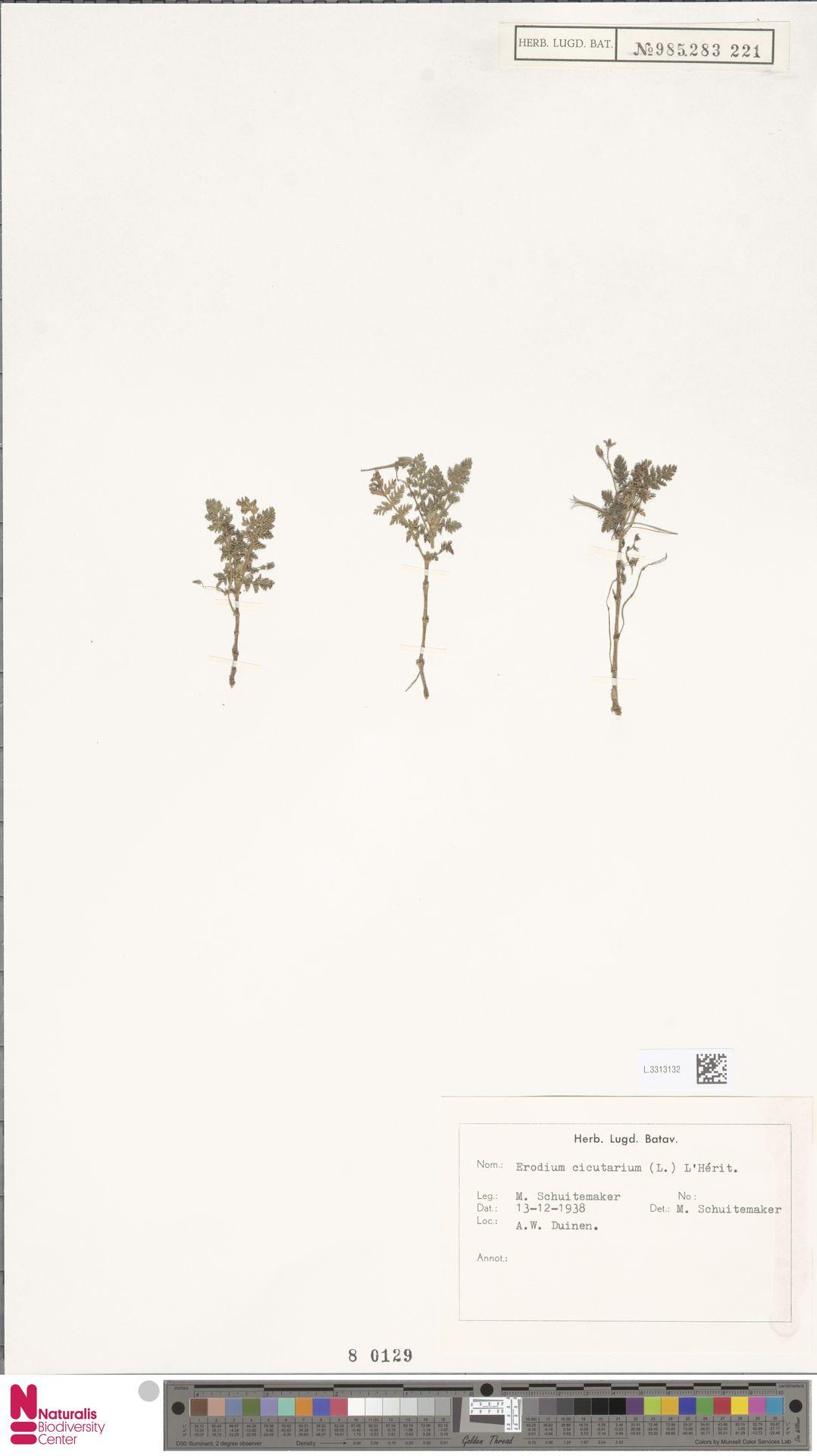 L.3313132   Erodium cicutarium (L.) L'Hér.