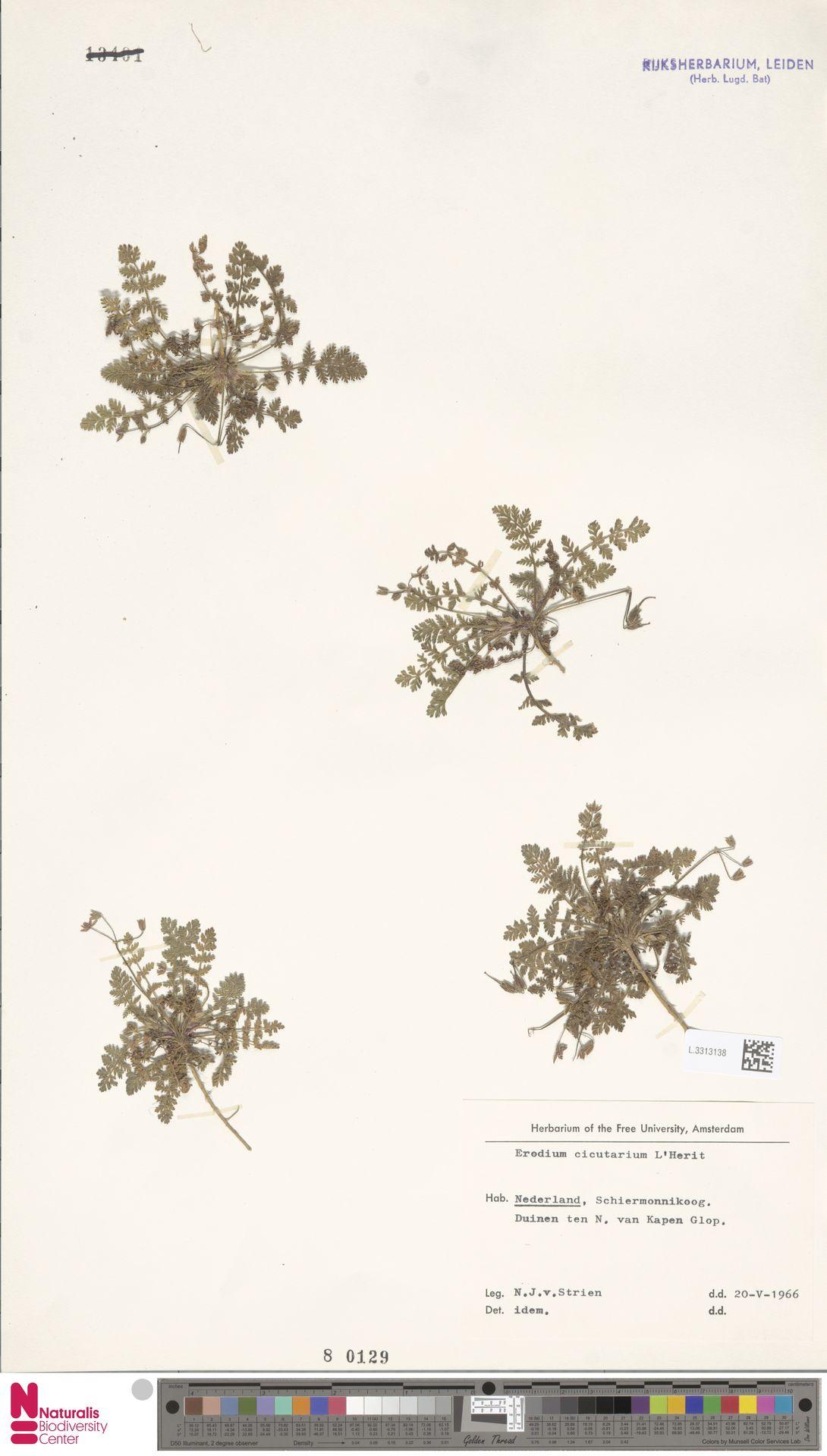 L.3313138   Erodium cicutarium (L.) L'Hér.