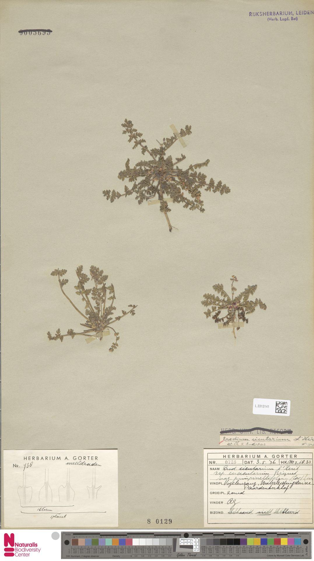 L.3313141 | Erodium cicutarium (L.) L'Hér.