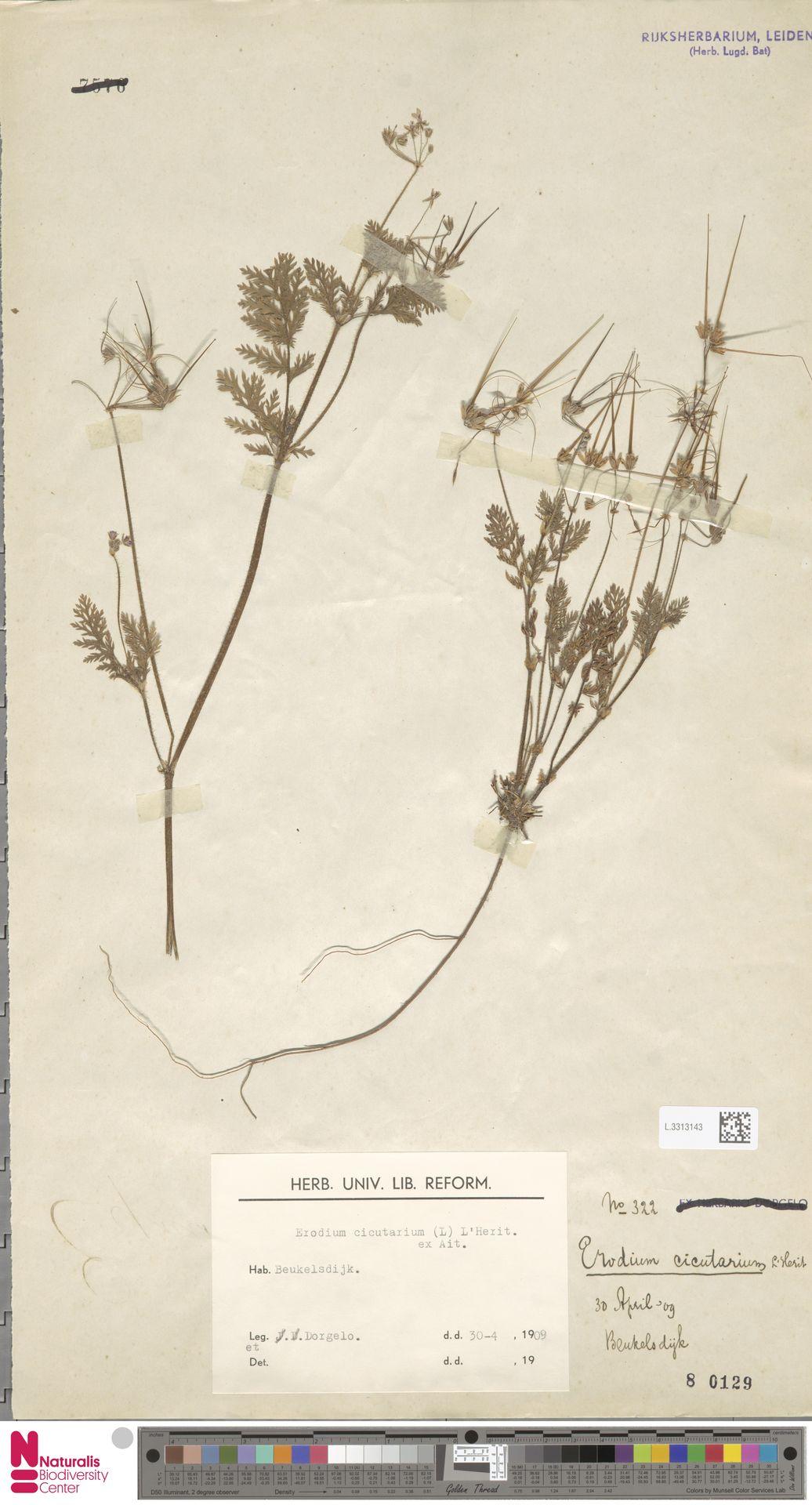 L.3313143 | Erodium cicutarium (L.) L'Hér.
