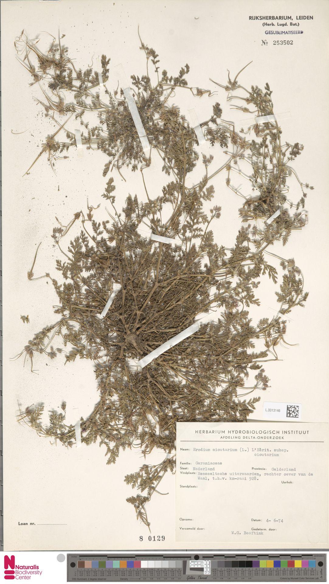L.3313146 | Erodium cicutarium (L.) L'Hér.