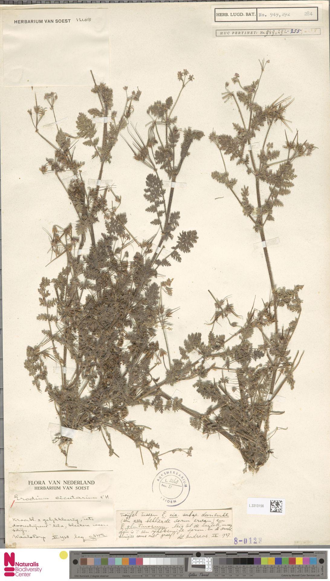 L.3313156 | Erodium cicutarium (L.) L'Hér.