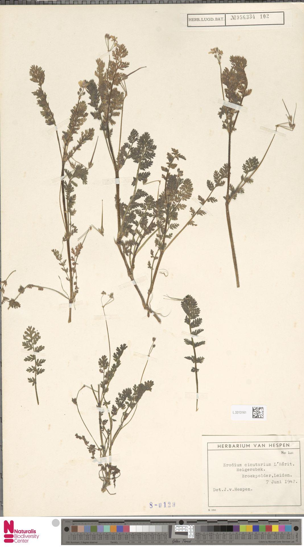 L.3313161 | Erodium cicutarium (L.) L'Hér.