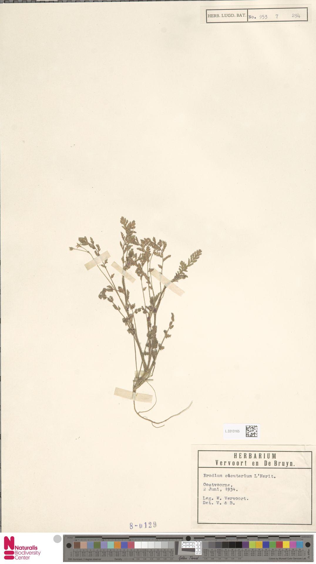L.3313165 | Erodium cicutarium (L.) L'Hér.