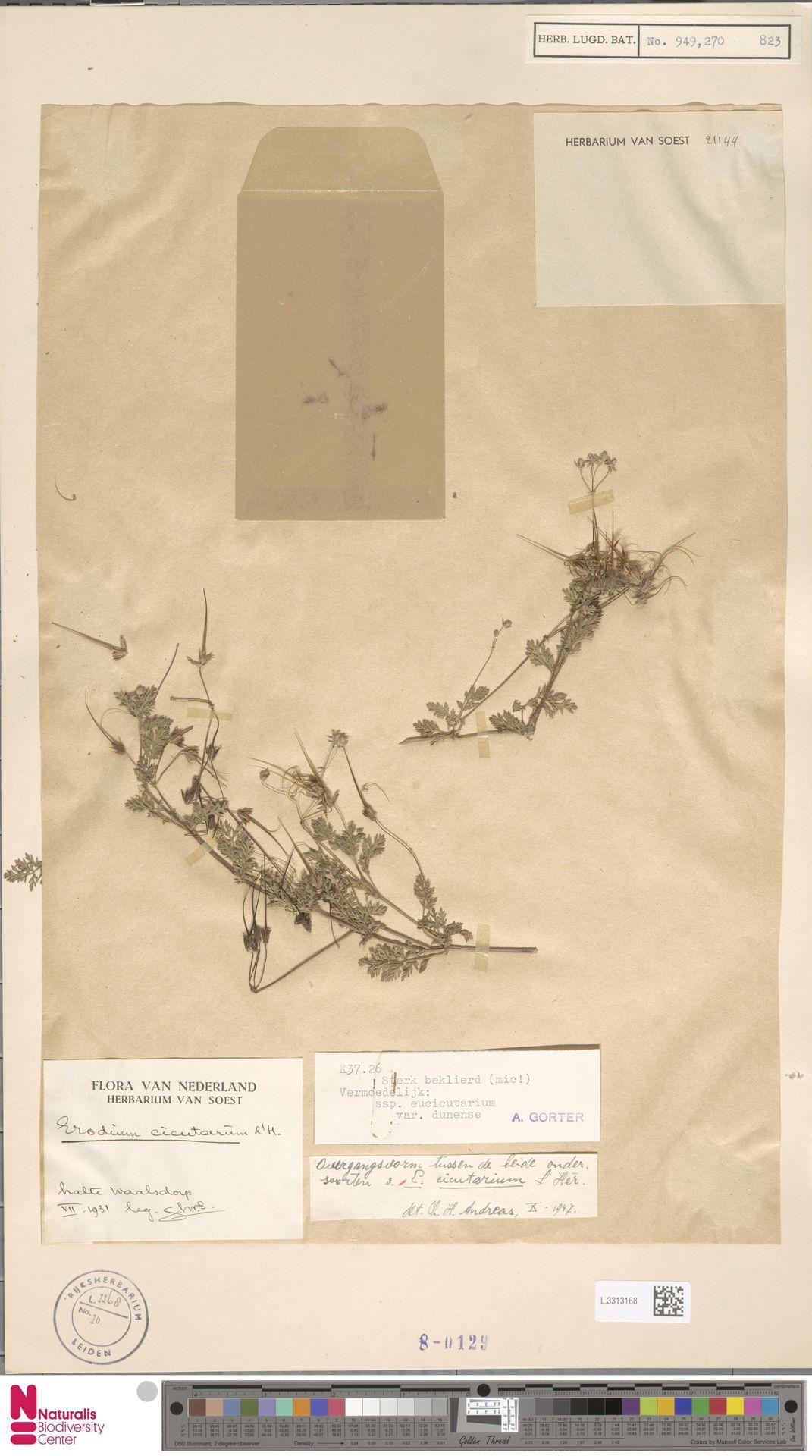L.3313168 | Erodium cicutarium (L.) L'Hér.