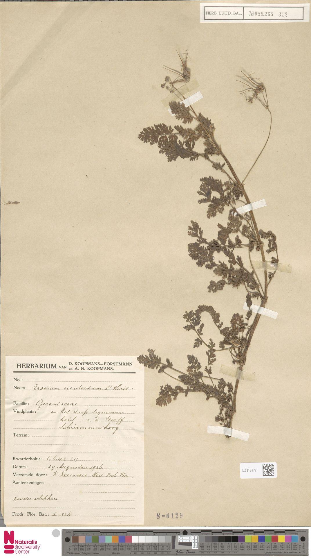 L.3313172 | Erodium cicutarium (L.) L'Hér.