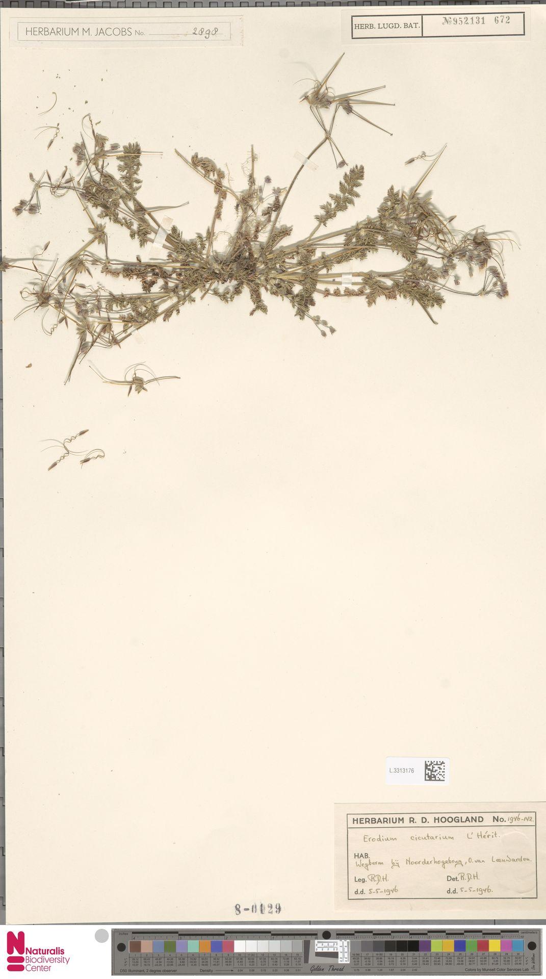 L.3313176 | Erodium cicutarium (L.) L'Hér.