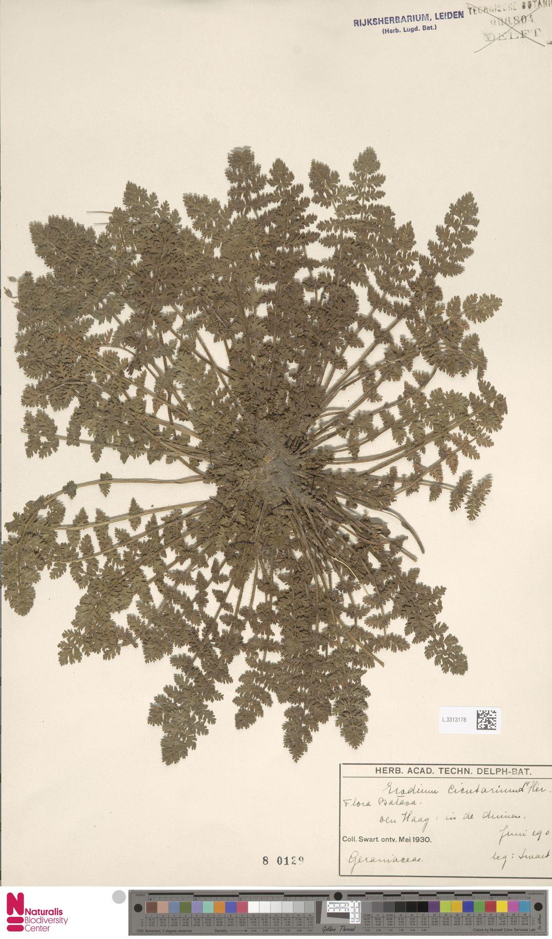 L.3313178 | Erodium cicutarium (L.) L'Hér.