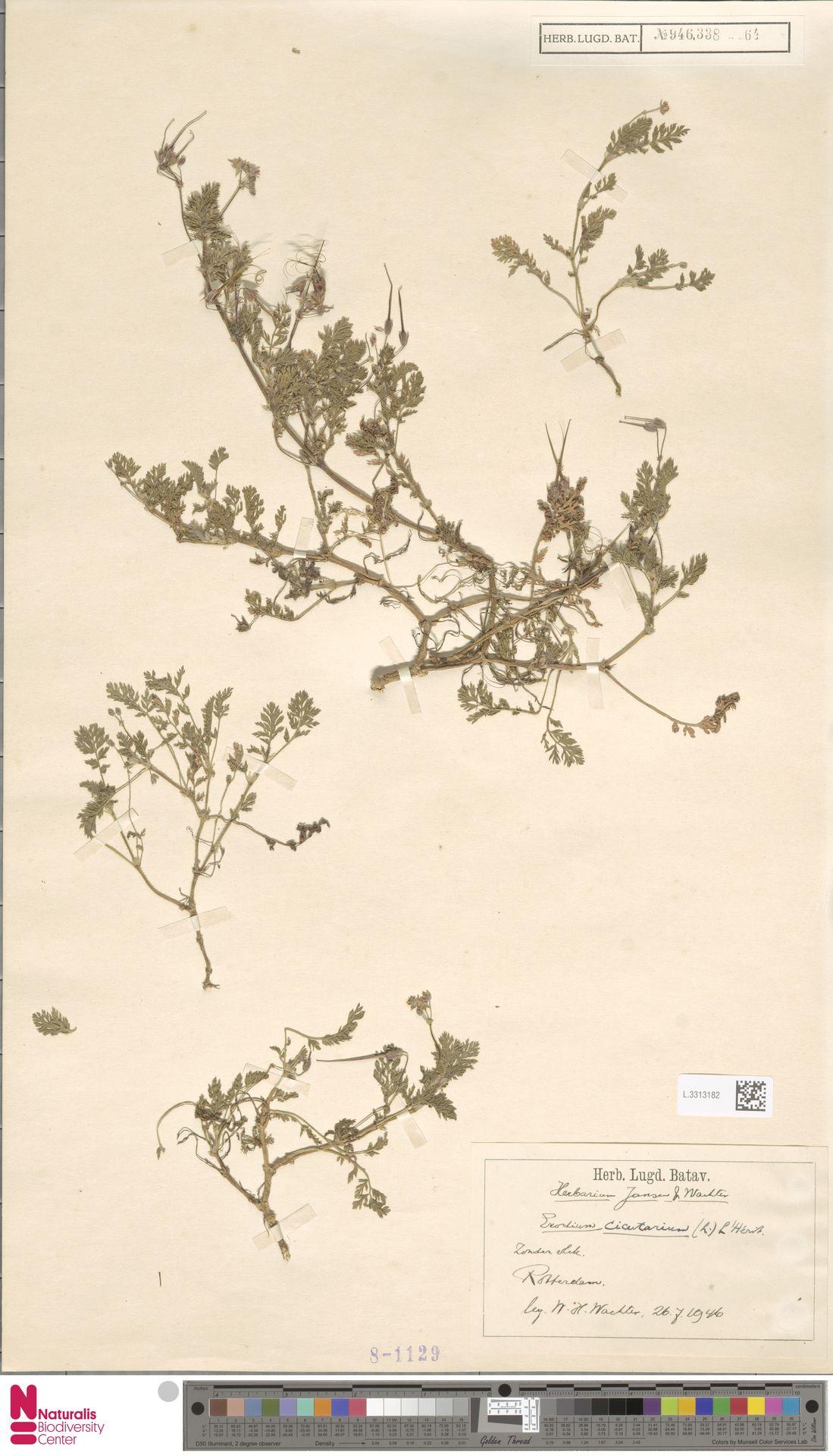 L.3313182 | Erodium cicutarium (L.) L'Hér.