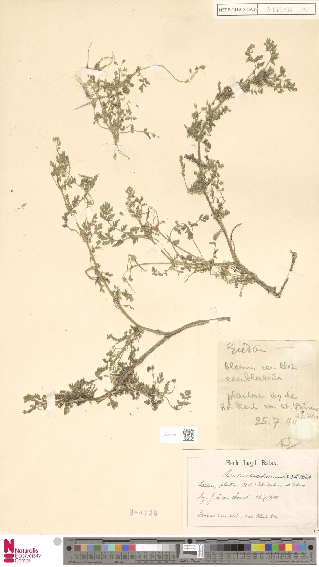 L.3313185 | Erodium cicutarium (L.) L'Hér.