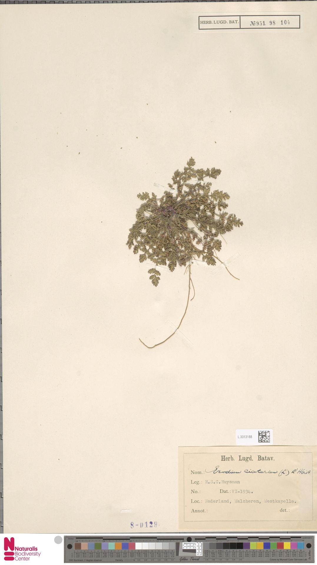 L.3313188 | Erodium cicutarium (L.) L'Hér.