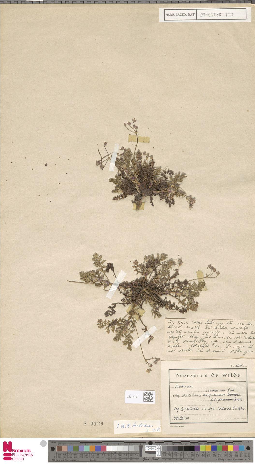 L.3313191 | Erodium cicutarium (L.) L'Hér.