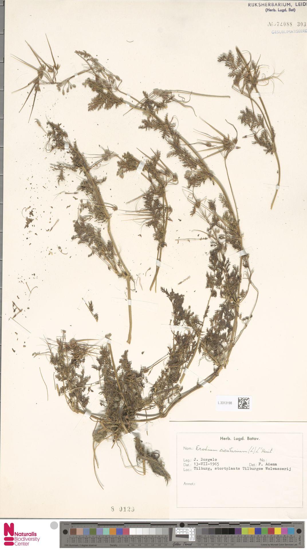 L.3313198 | Erodium cicutarium (L.) L'Hér.