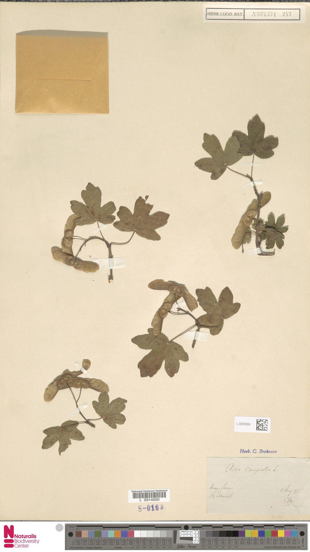 L.3320304 | Acer campestre L.